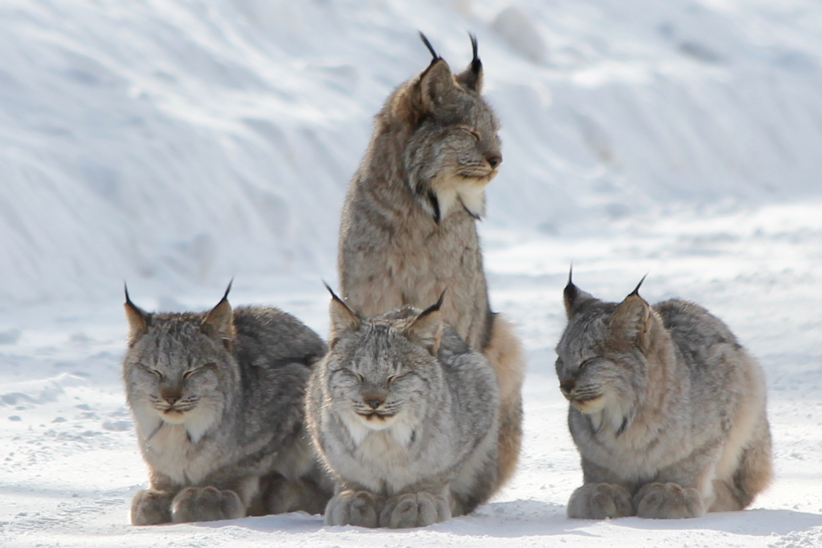 A family of lynx's sits on the snow