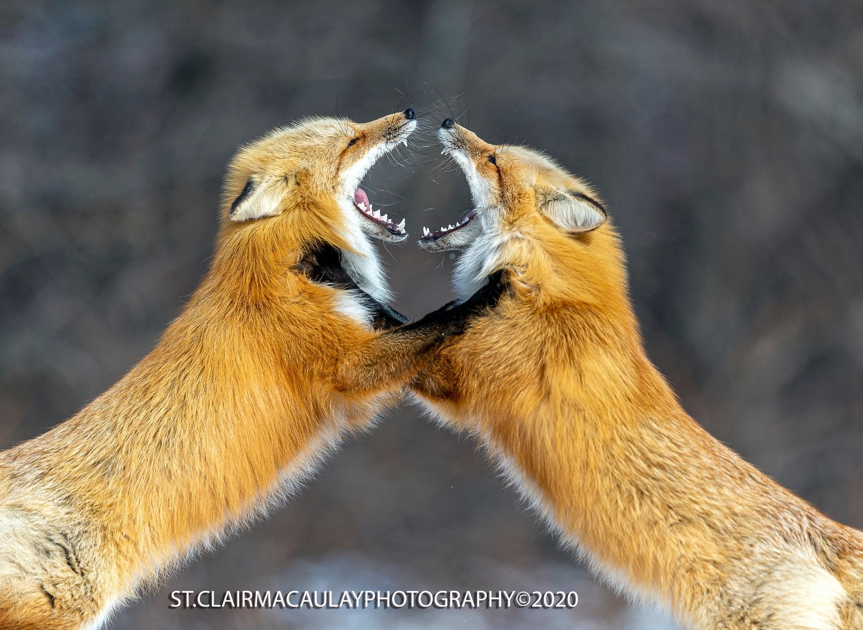 Two foxes play fight with their mouths wide open