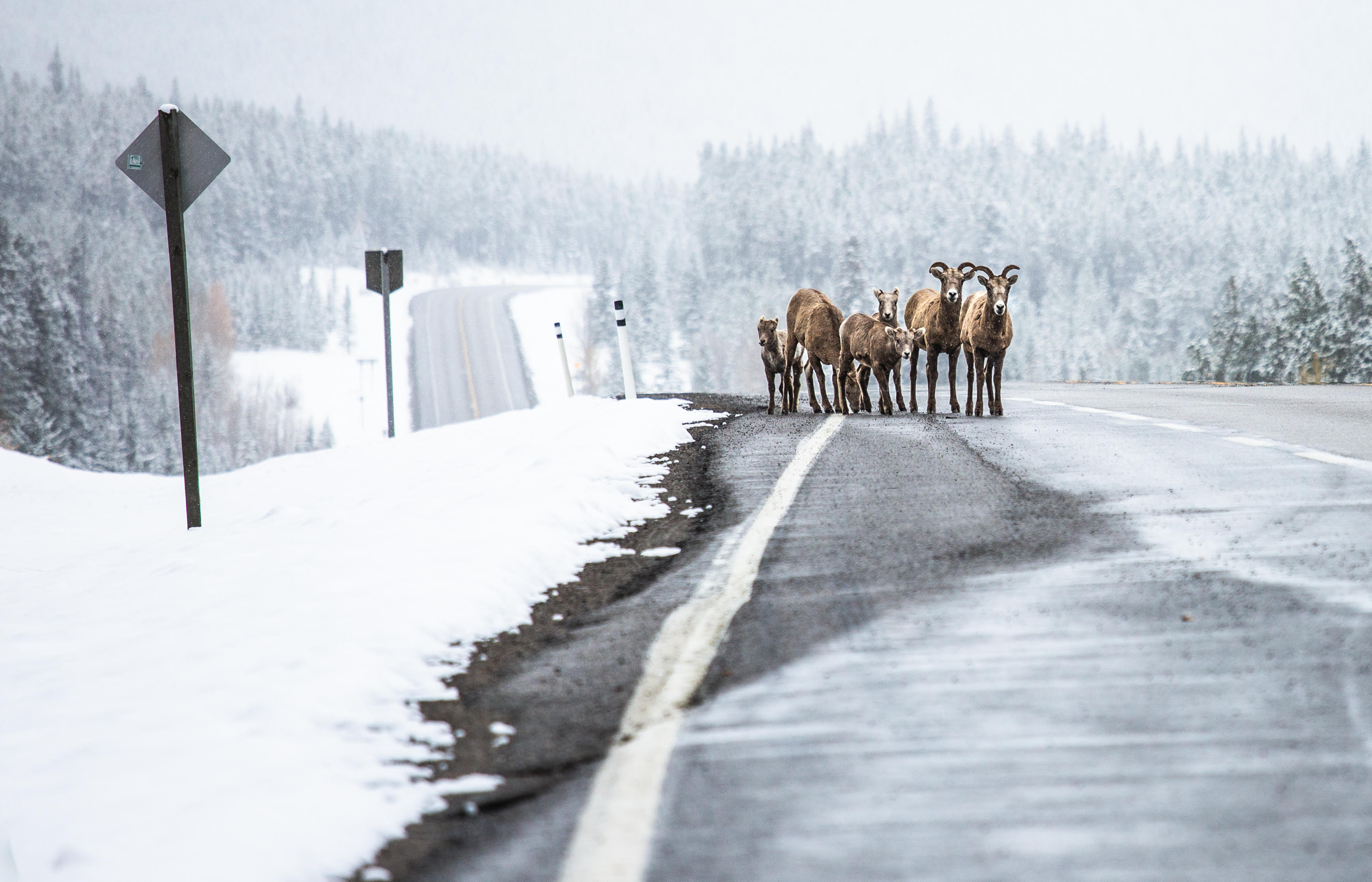 Mountain goats walk on the side of a highway in winter