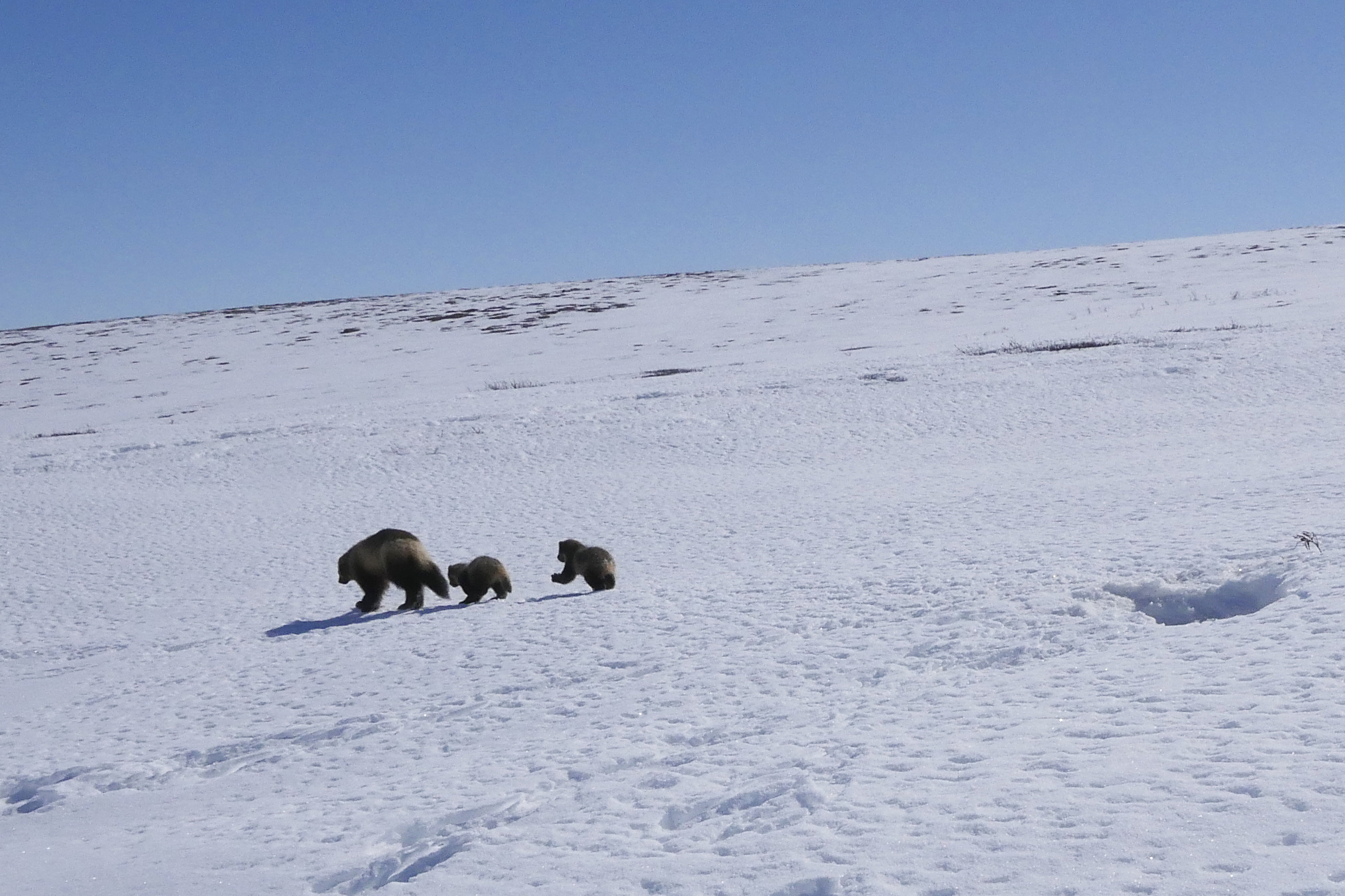 A family of wolverines walks across the snow covered ground