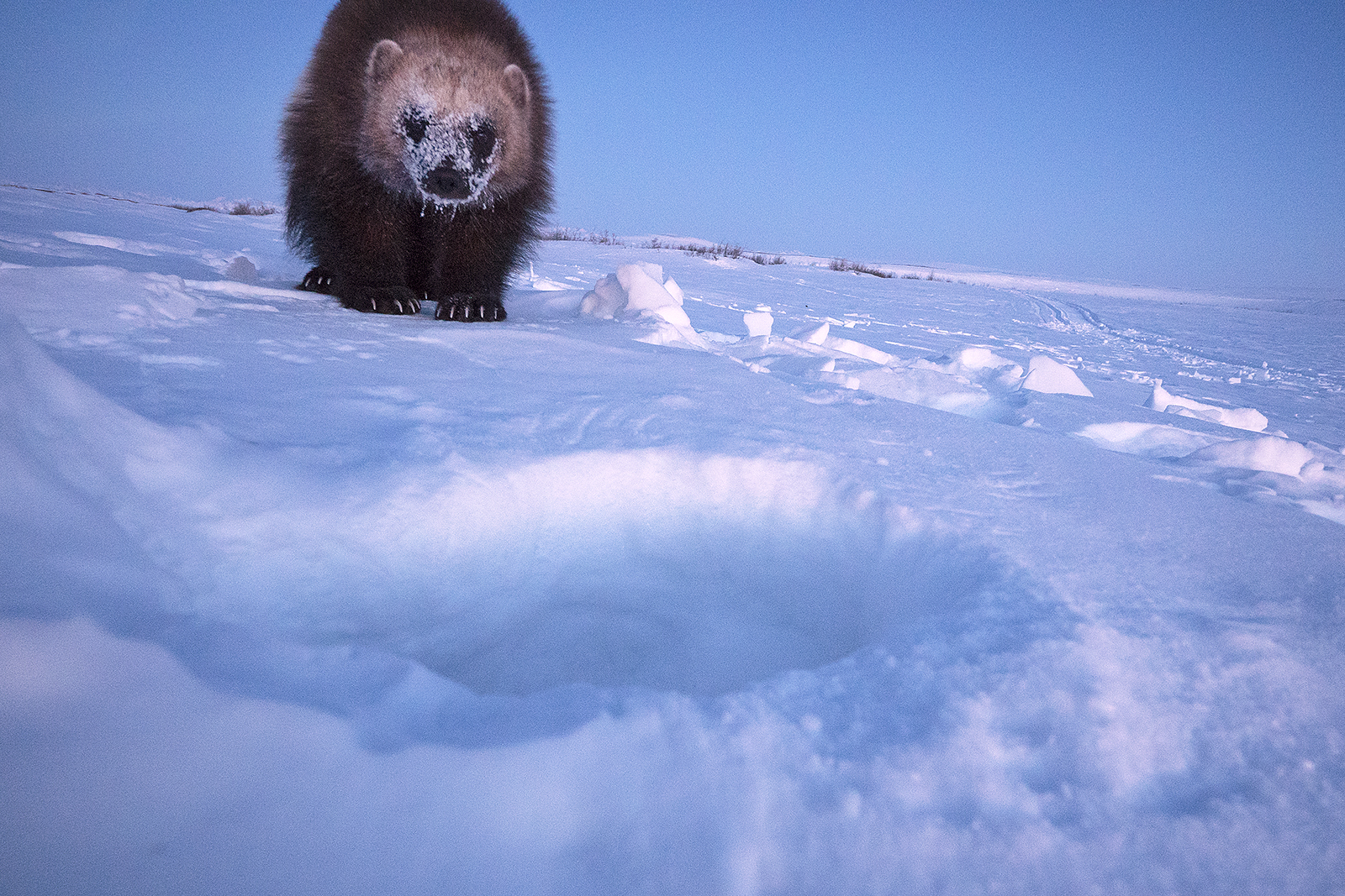 A wolverine stares at the camera, its face covered in ice and snow