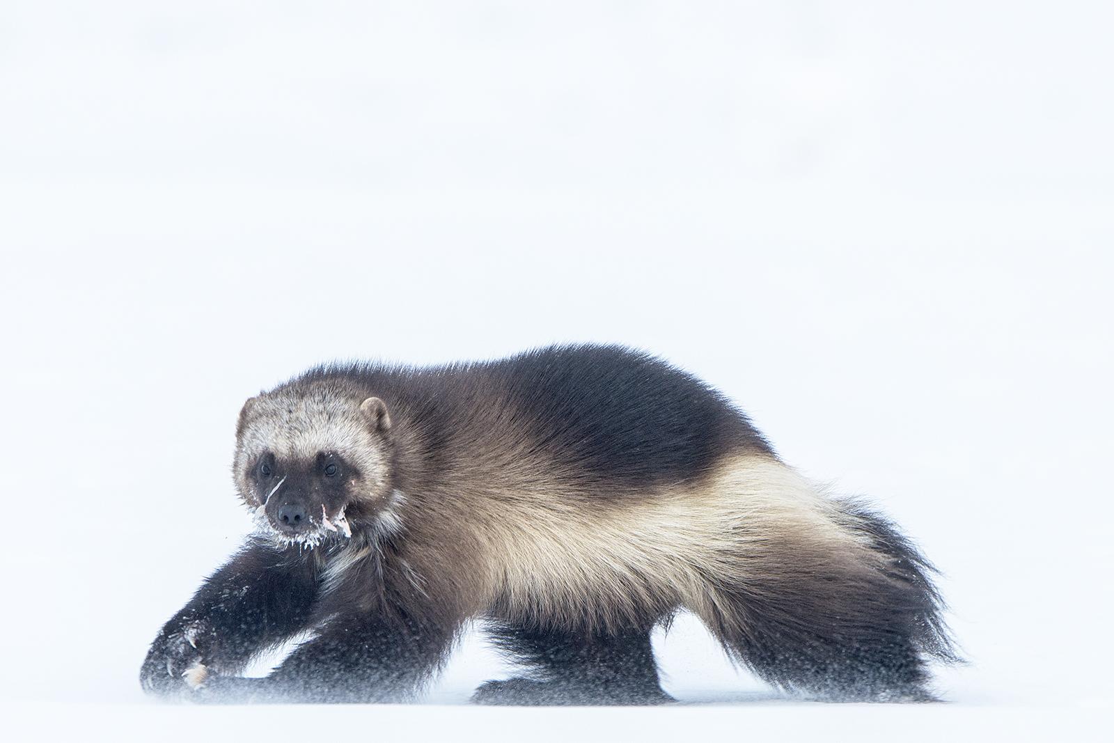 A wolverine walks across the snow