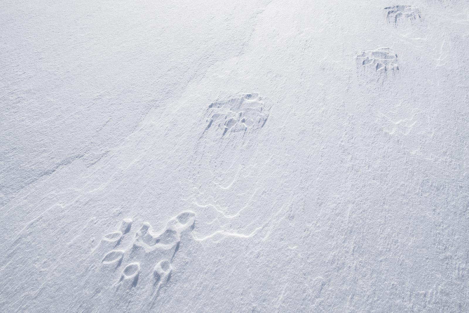 Wolverine paw-prints on fresh snow
