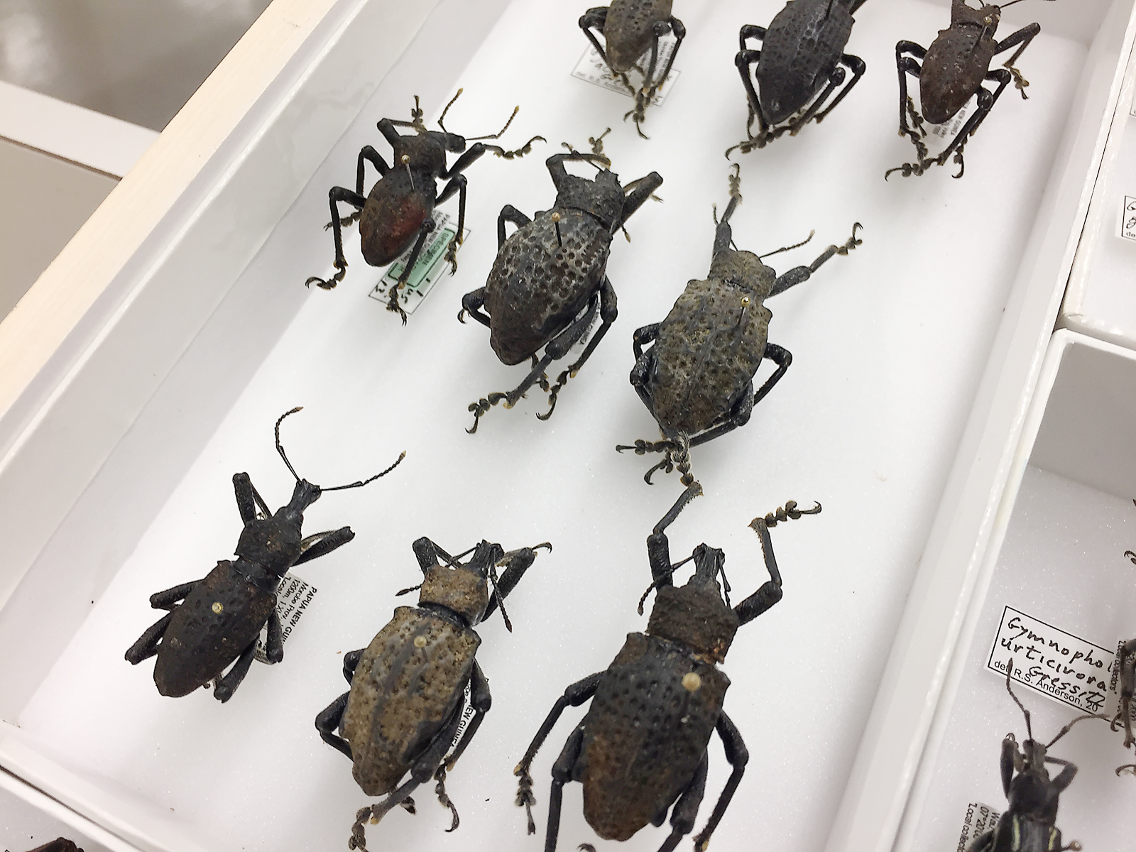 Specimen tray of beetles from Papua New Guinea