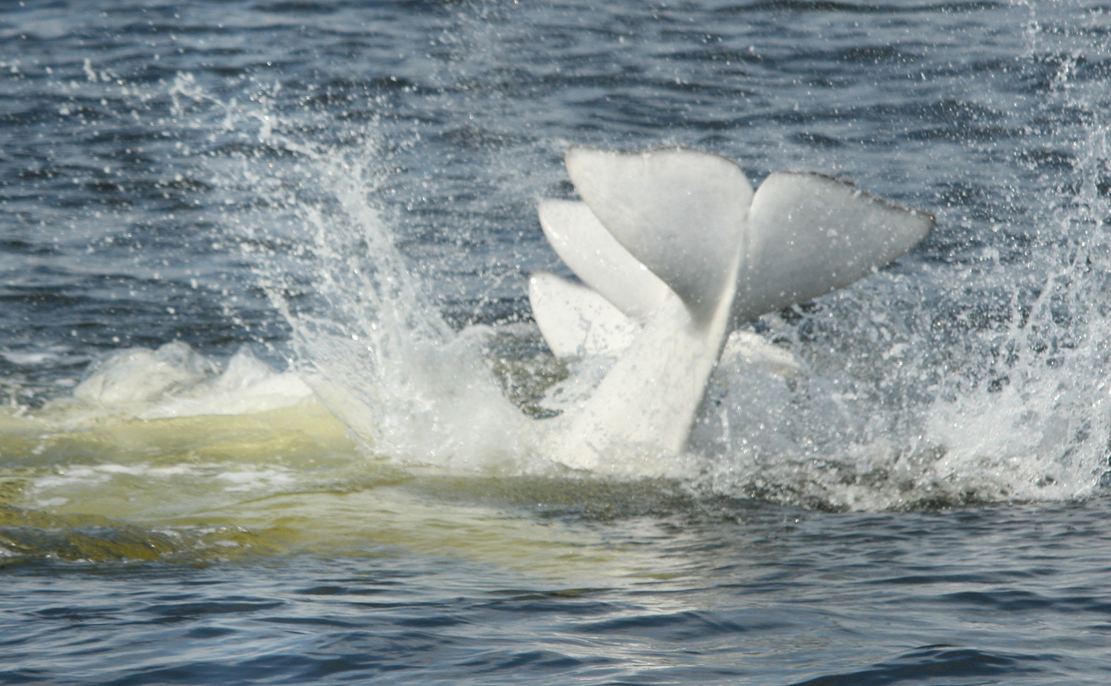 Beluga whales on the surface in the St. Lawrence River
