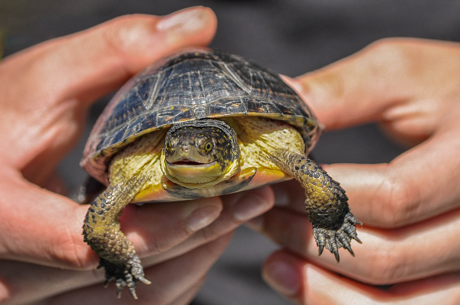 A juvenile blanding's turtle