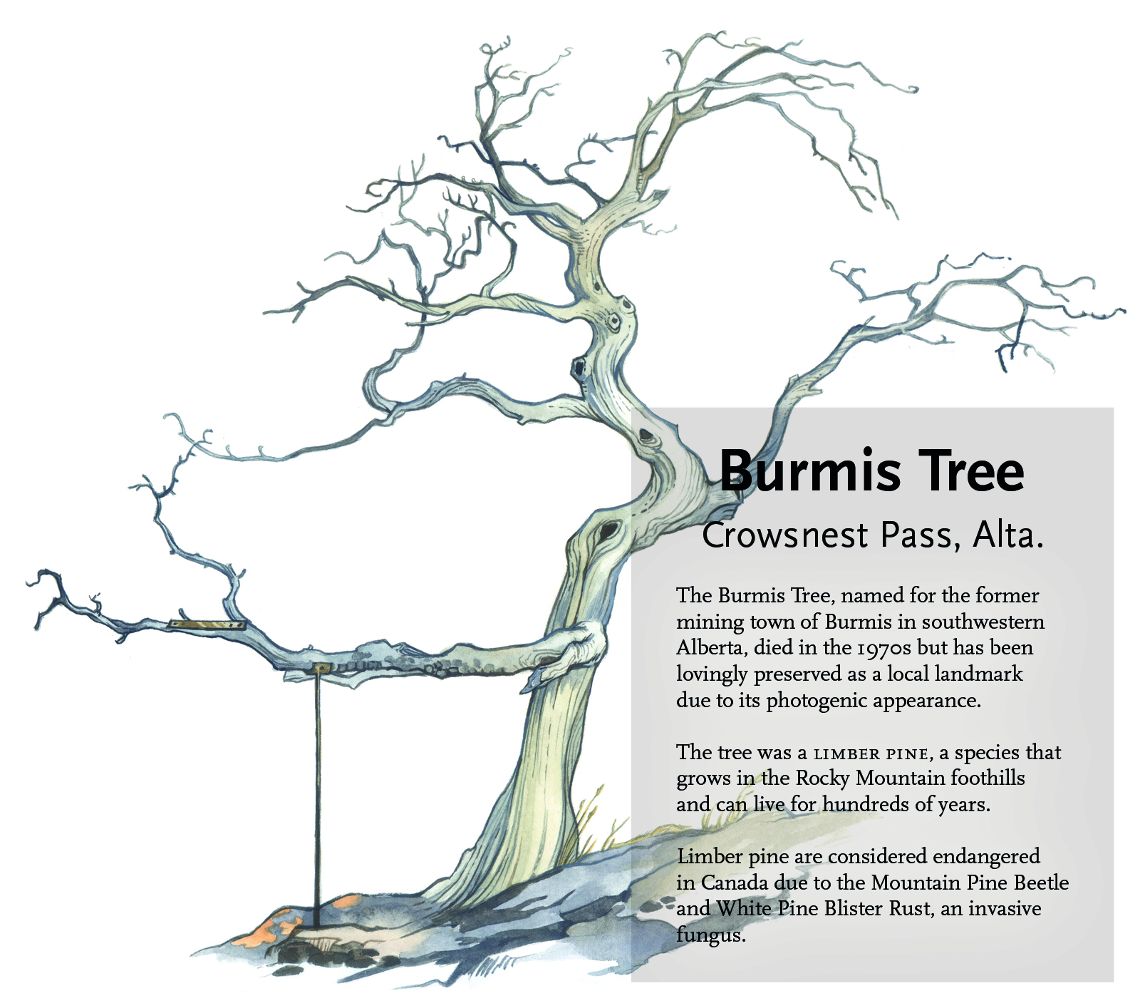 Burmis tree illustration