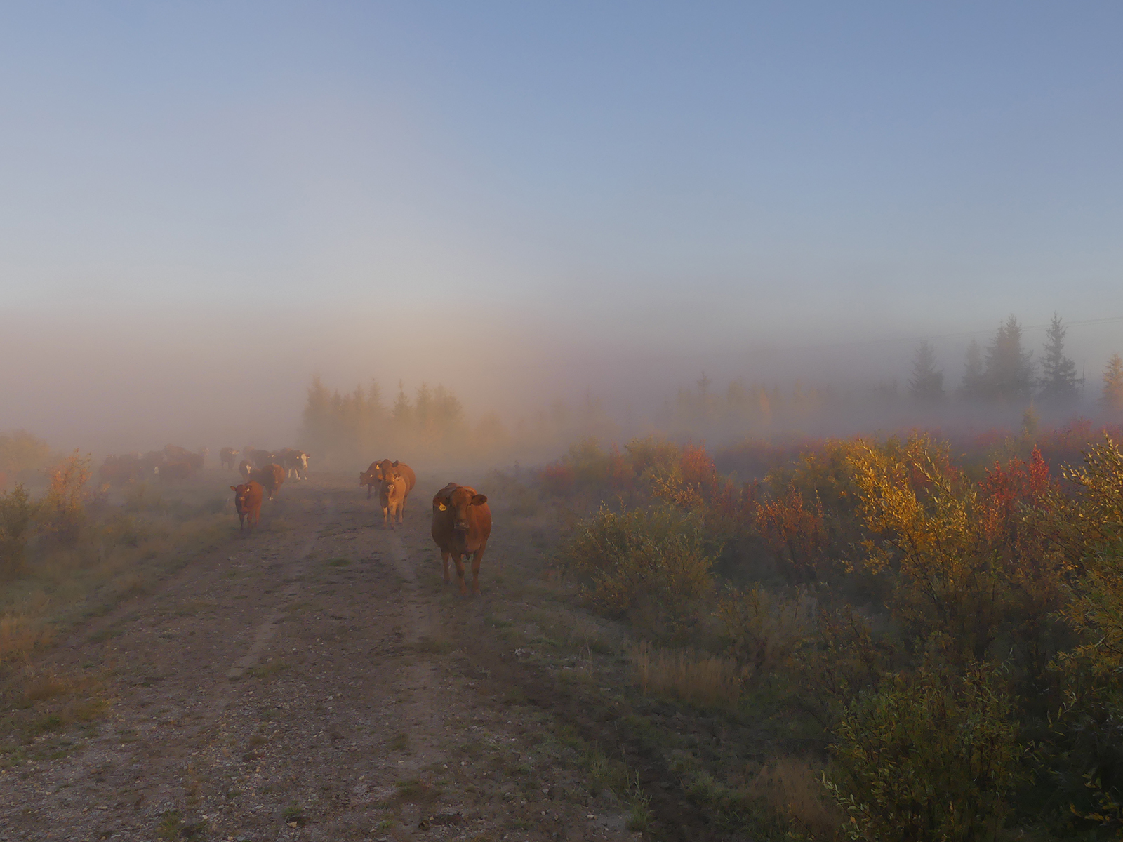 misty morning cattle walking on path alberta