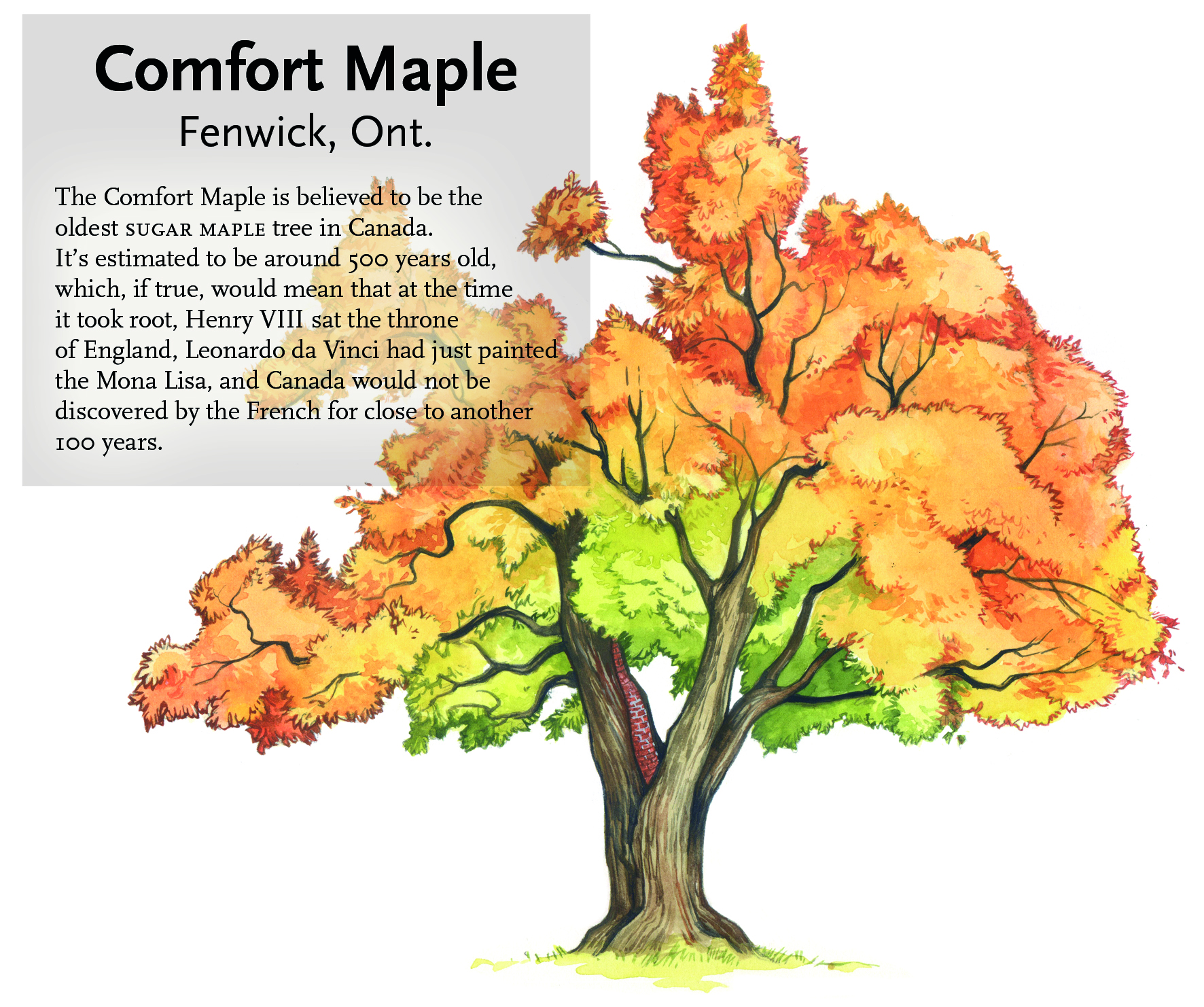 seven iconic canadian trees canadian geographic