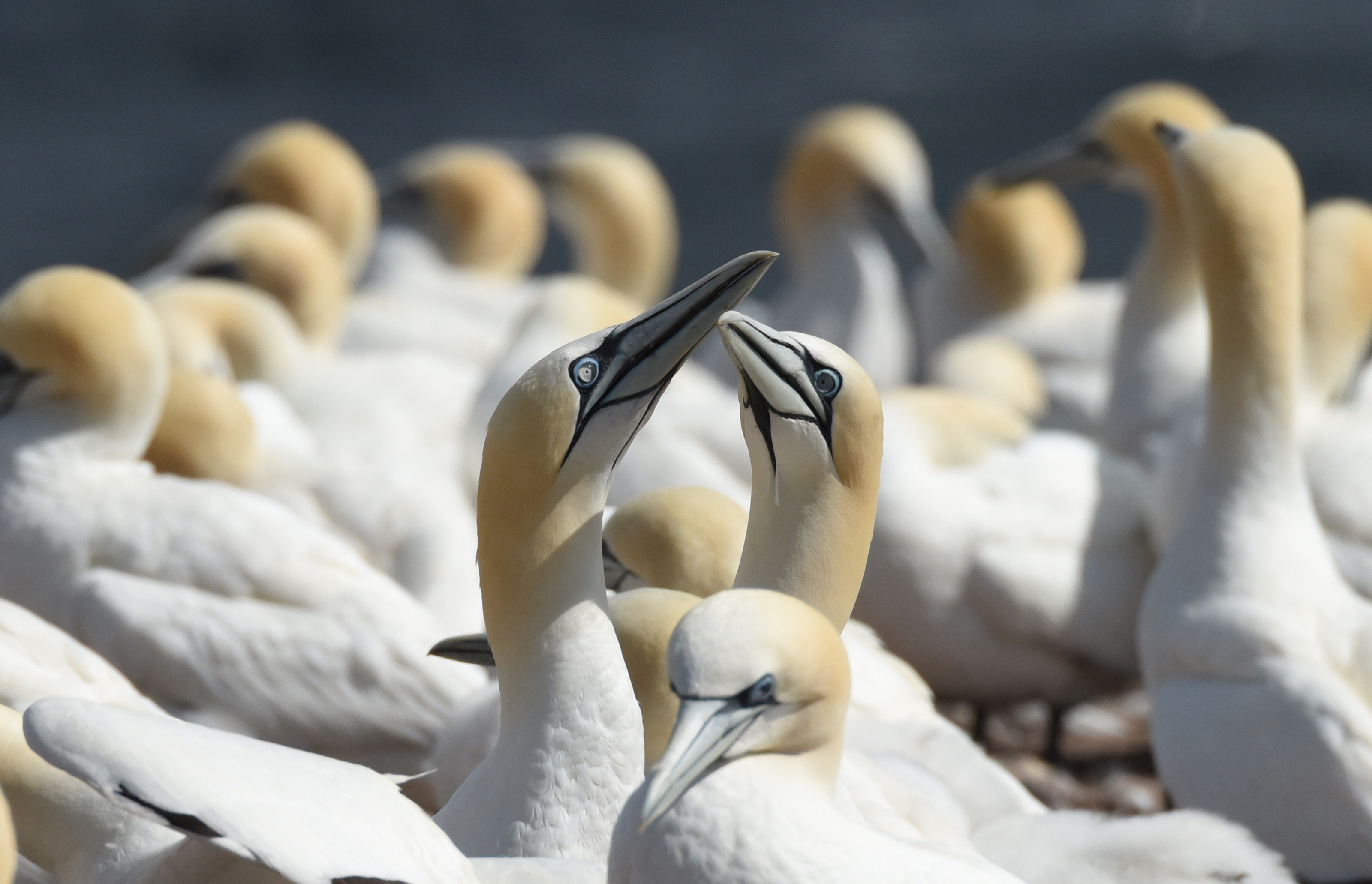 Northern gannets in the Gaspé