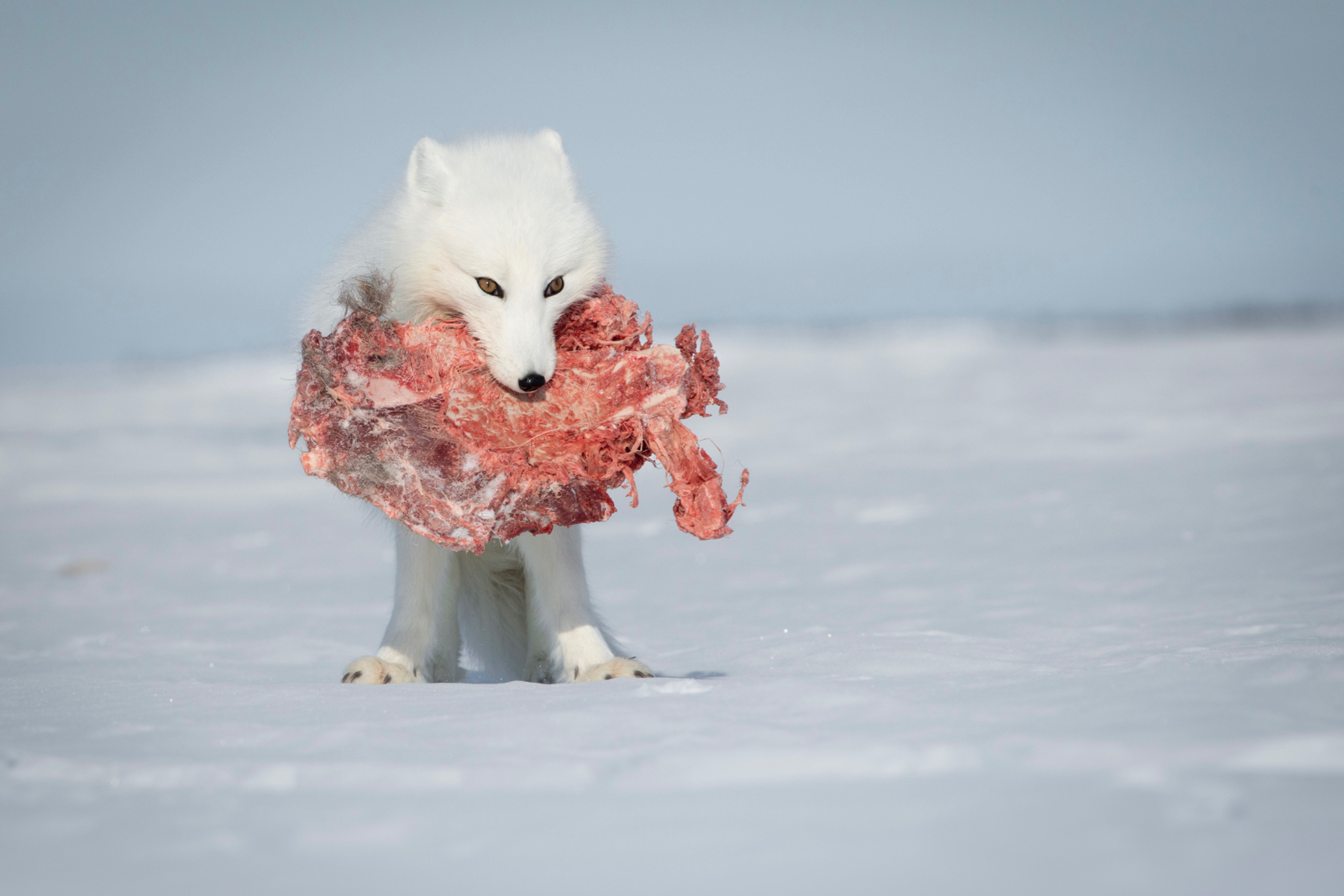 Arctic fox with carcass
