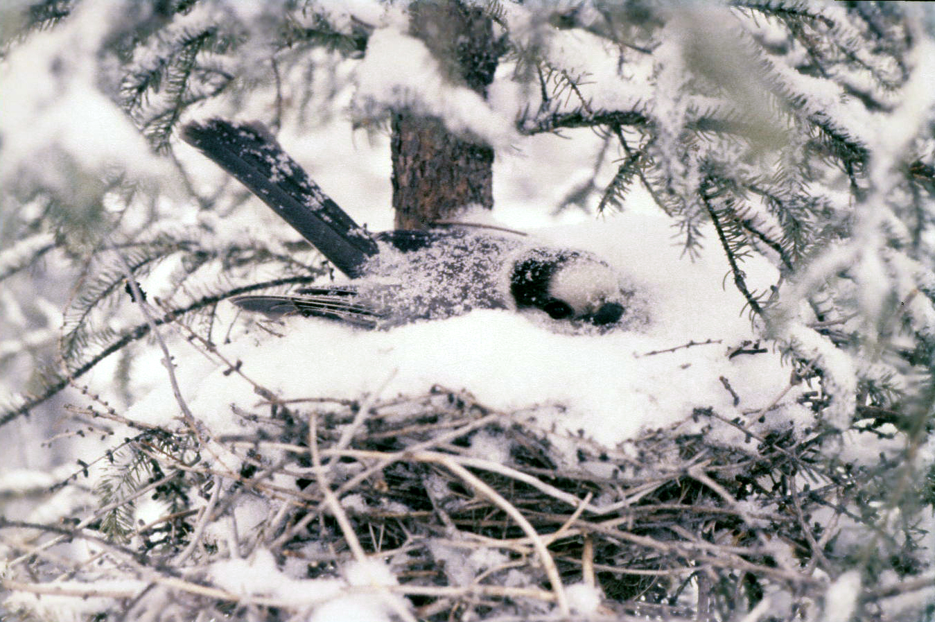 meet our national bird the gray jay canadian geographic