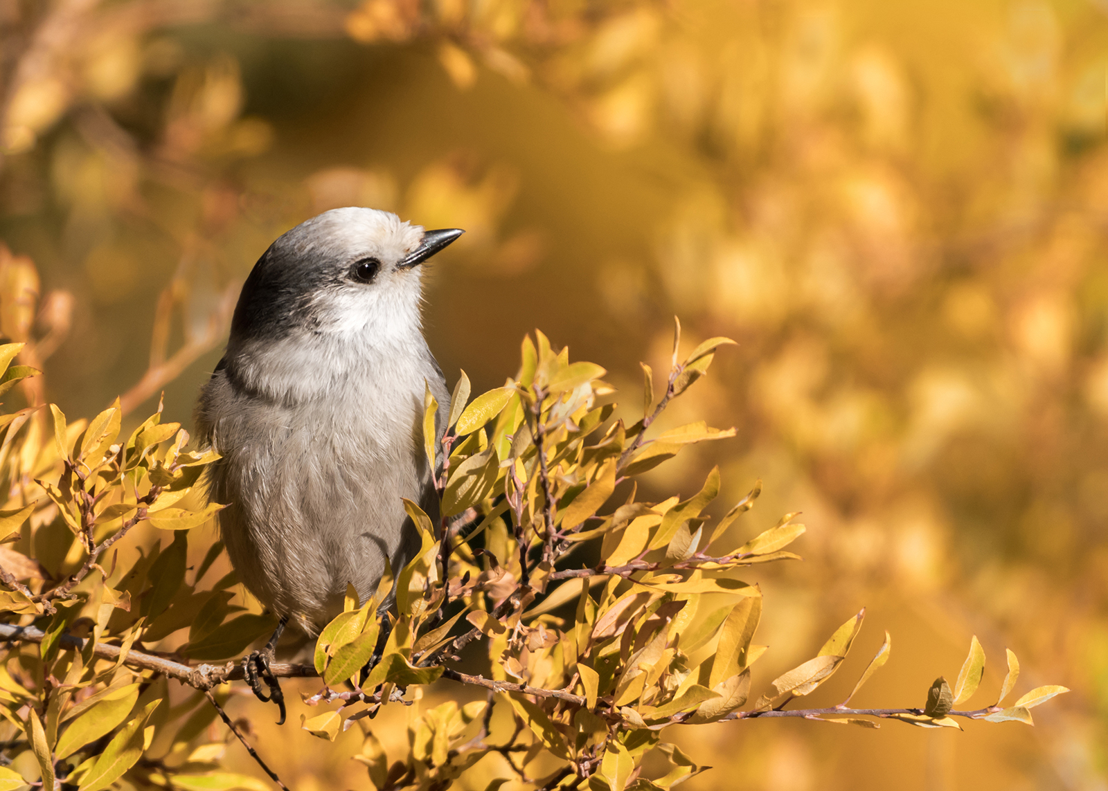 grey jay with fall foliage sharif galal
