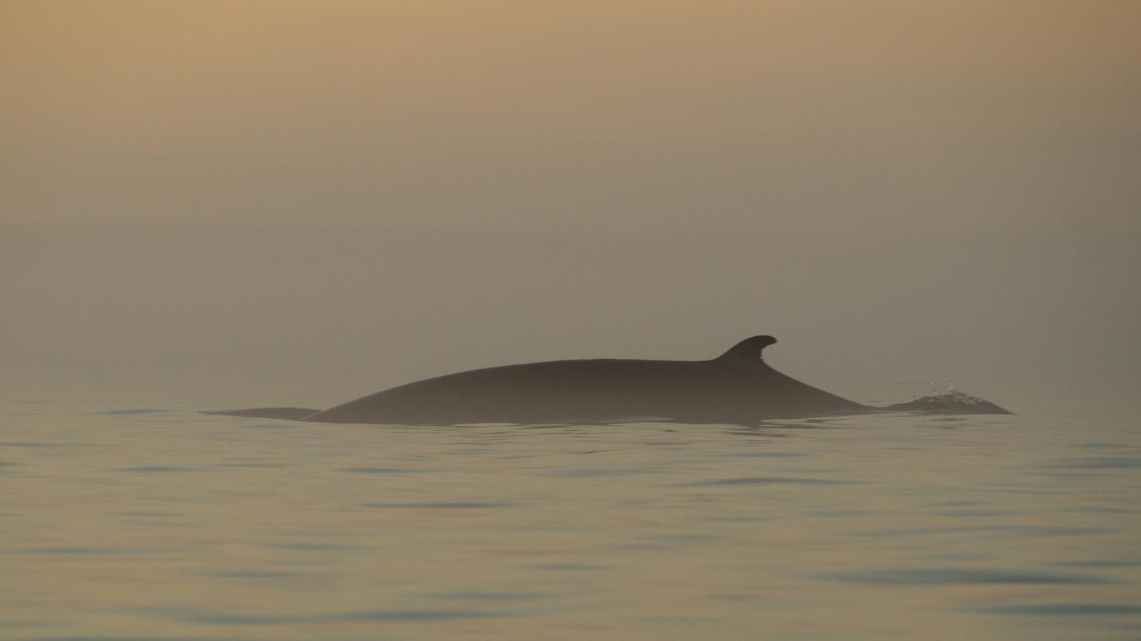 A minke whale