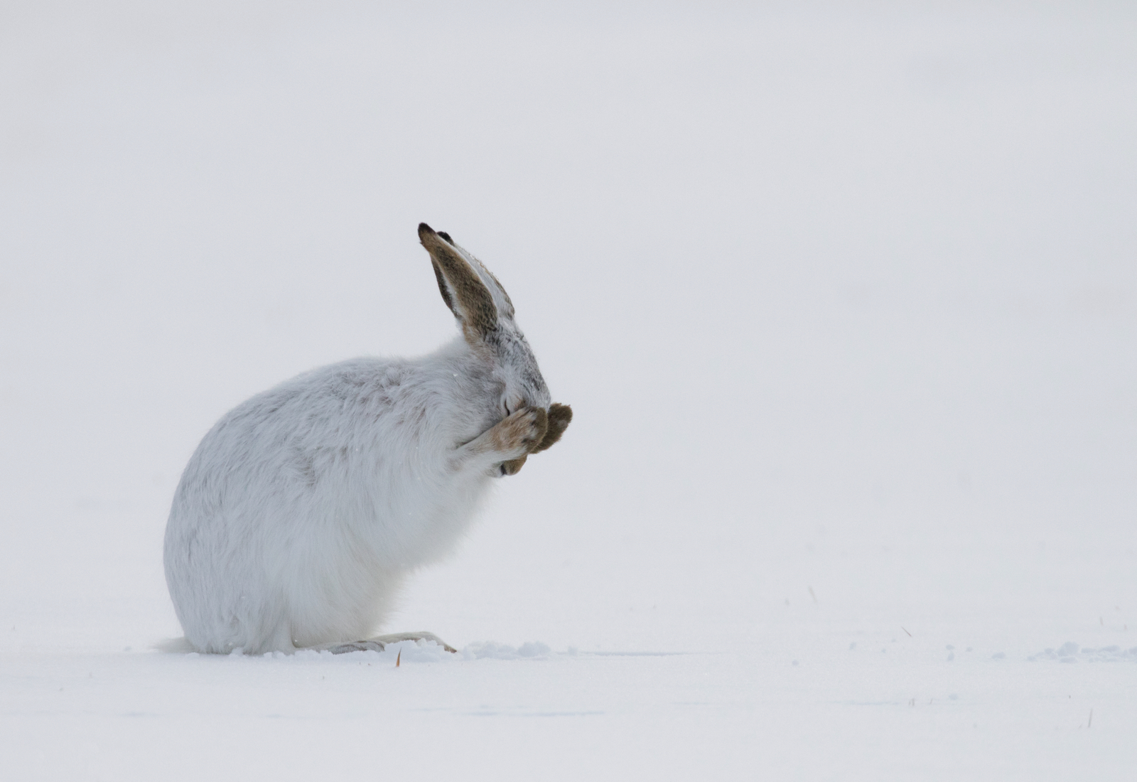 A rabbit in snow