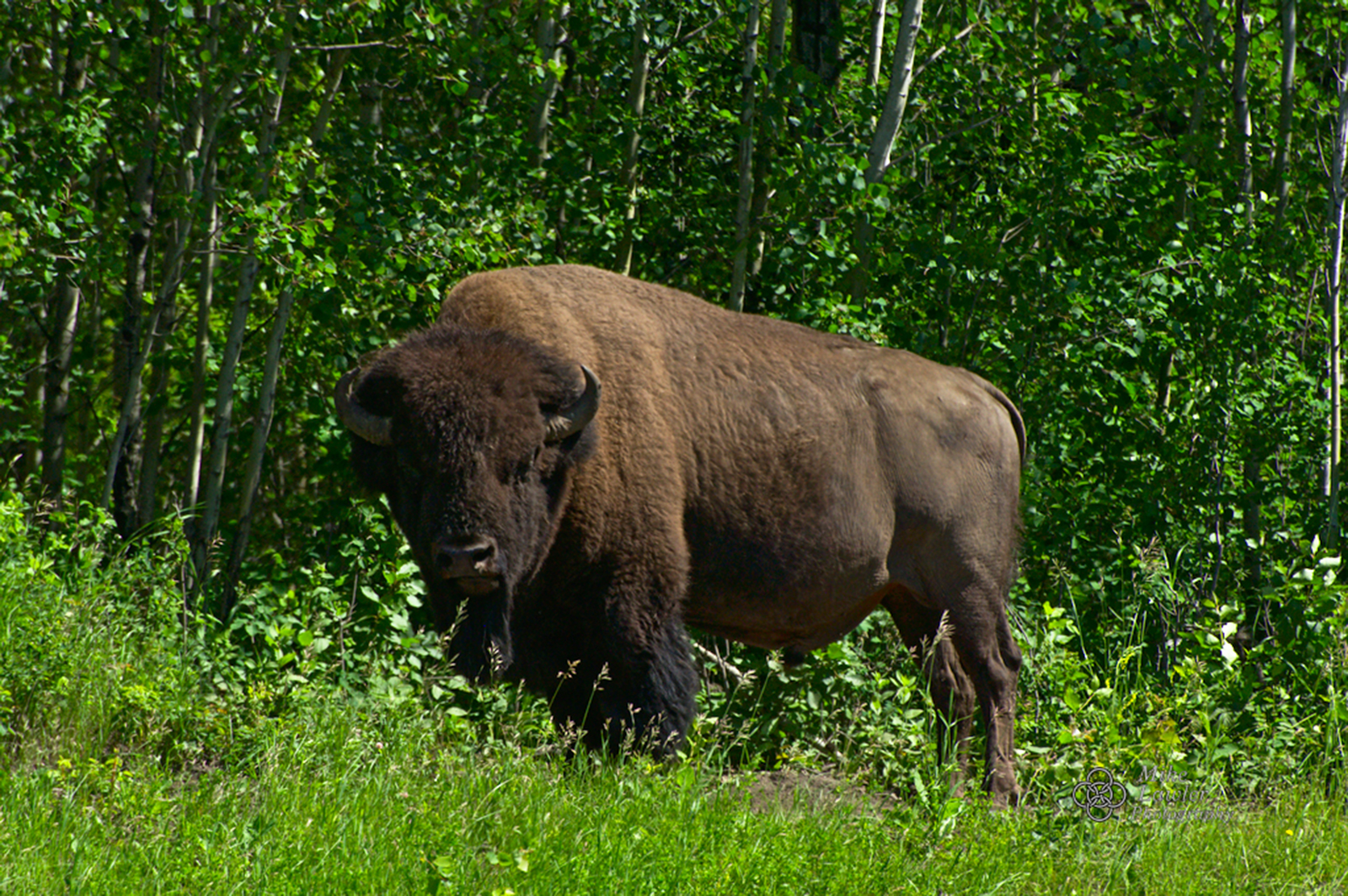 A plains bison in Elk Island National Park