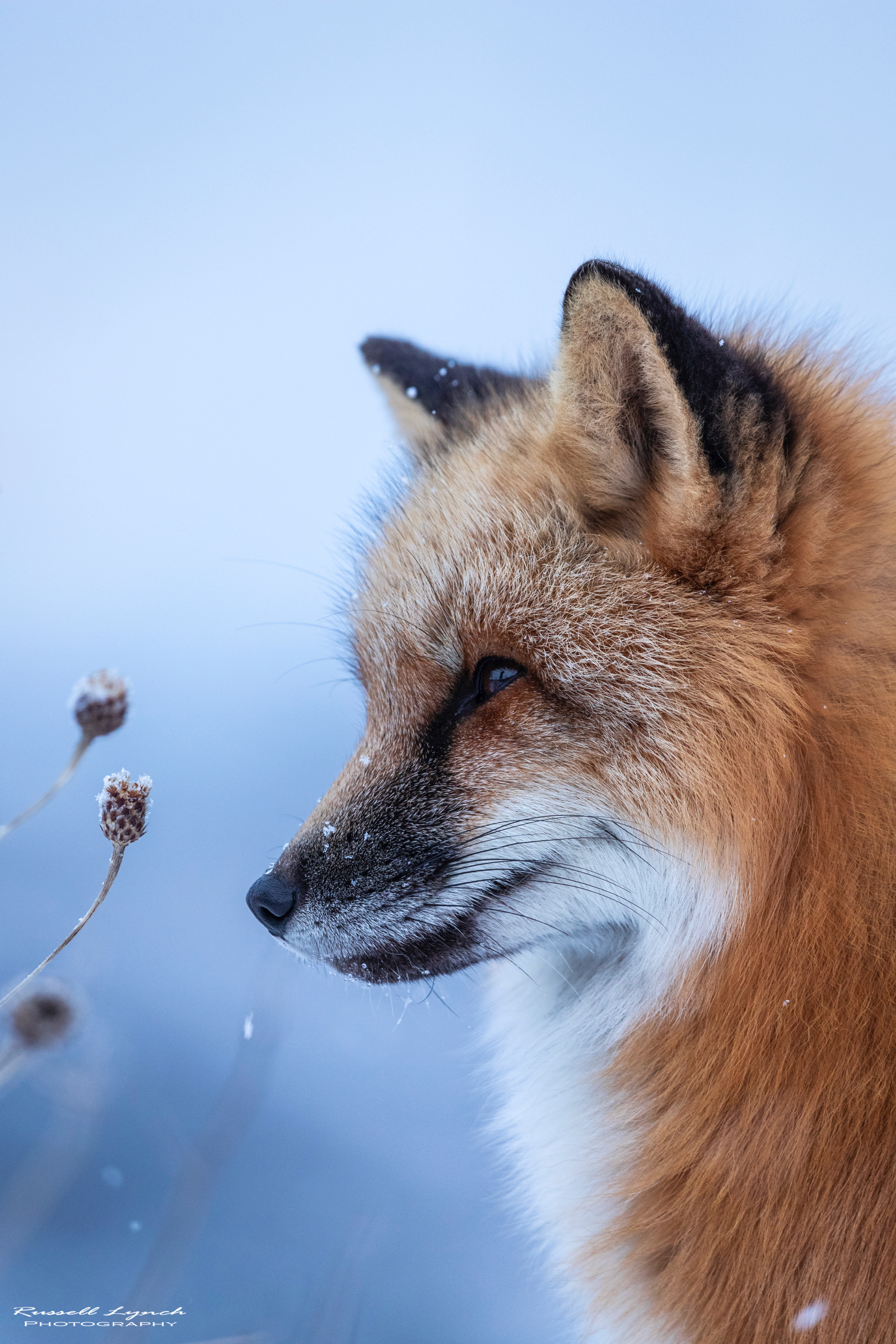 Red fox winter