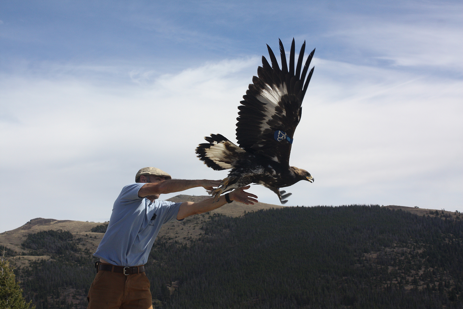 A volunteer with the Raptor View Research Institute in Montana releases a wing-tagged golden eagle