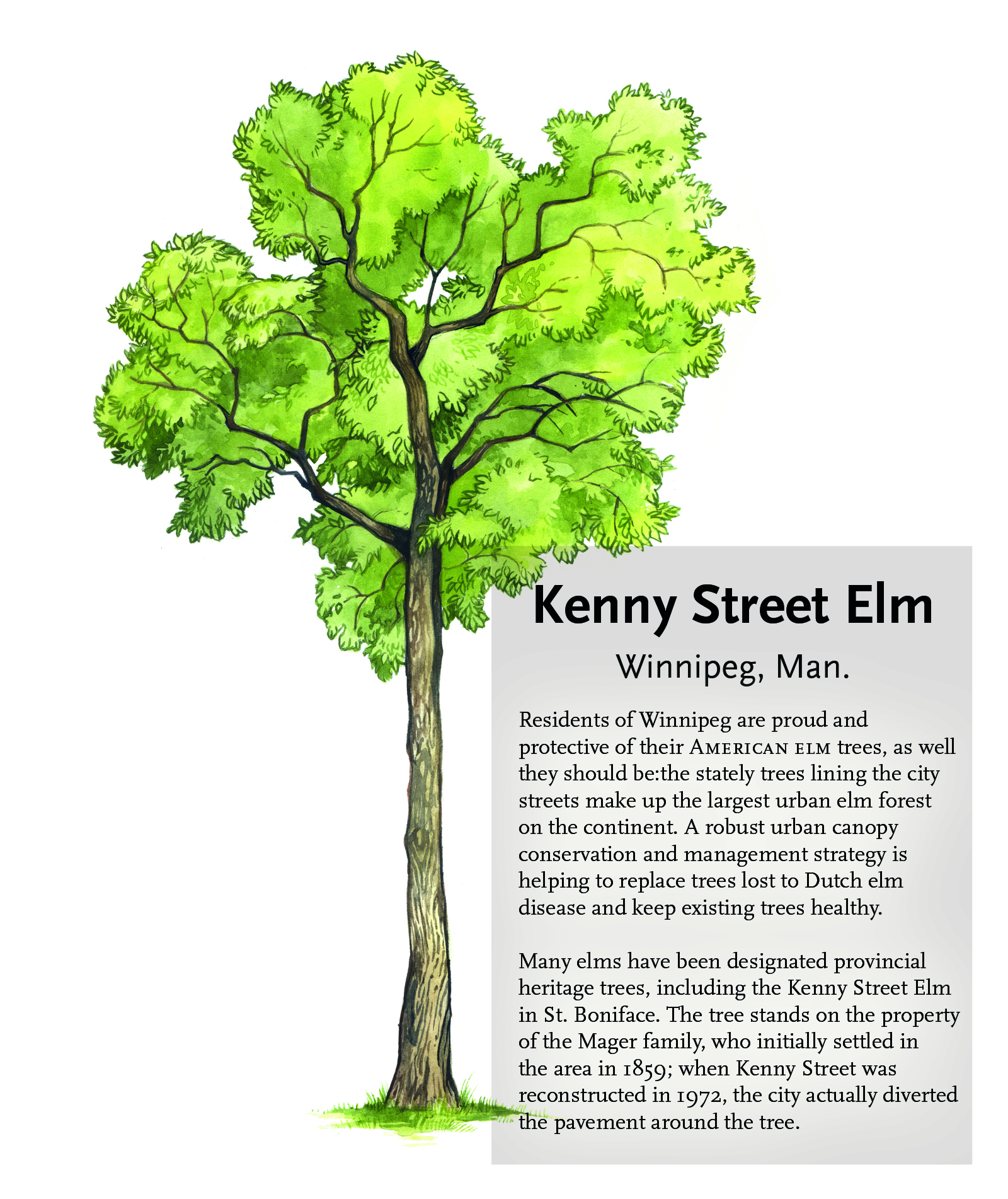 Kenny Street Elm illustration