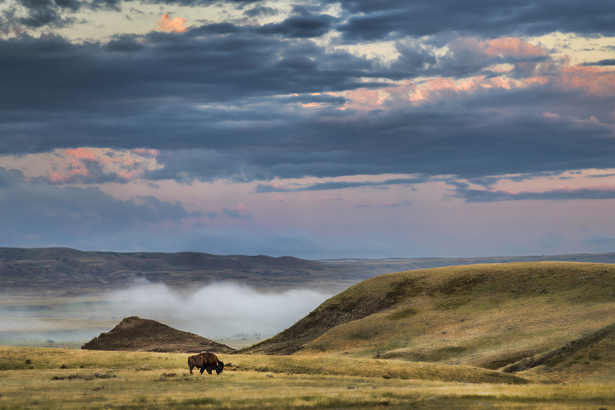 A bison grazes in Grasslands National Park