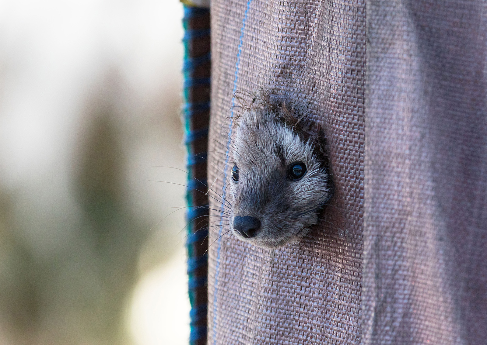 A marten peeks out of a piece of burlap