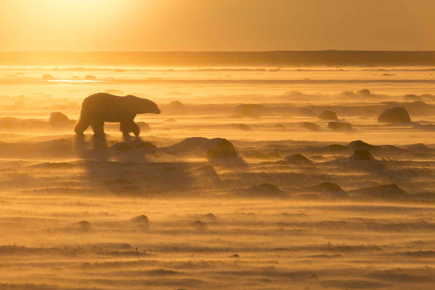 A polar bear, silhouetted by a vibrant orange sunset, moves across the tundra amid blowing snow