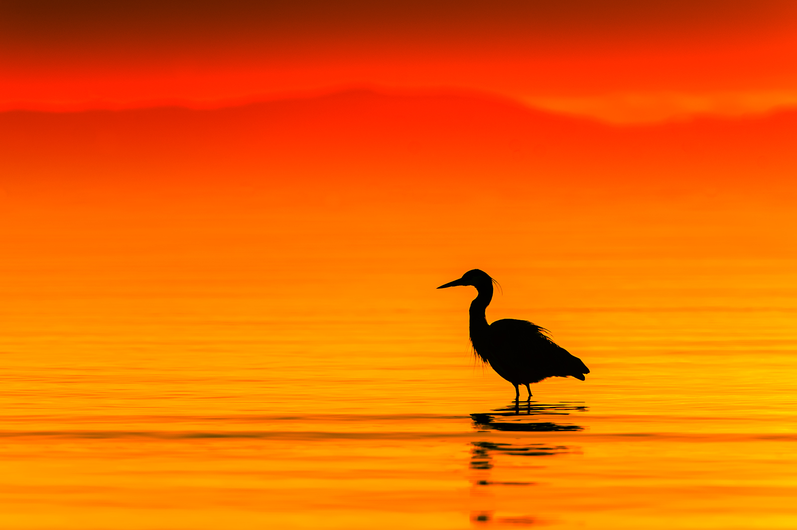 A wading heron is silhouetted by the vibrant orange and red sunset