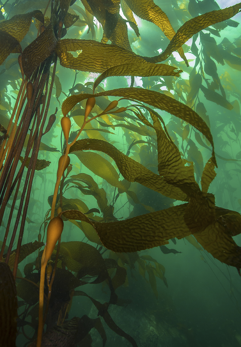 Giant kelp sways in the current under green-coloured waters