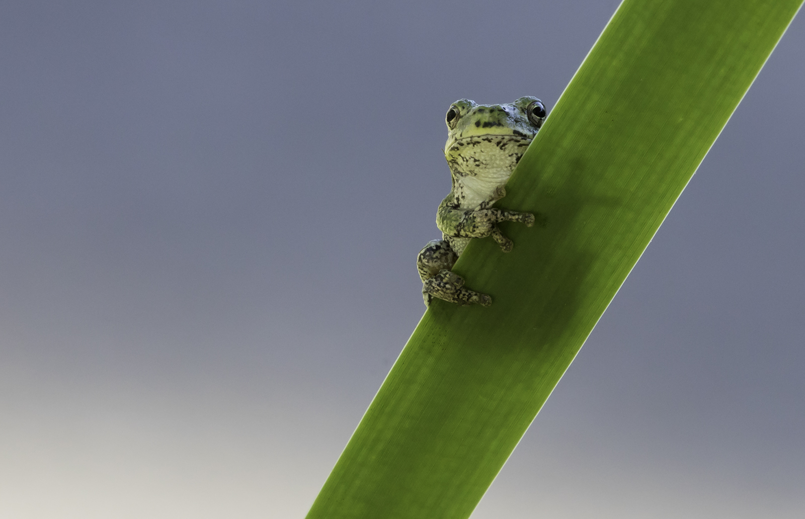 A tree frog clings to a blade of grass