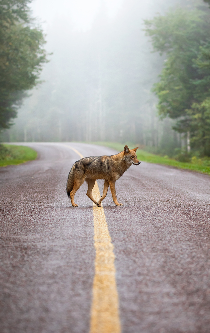 An eastern coyote crosses a road in morning fog