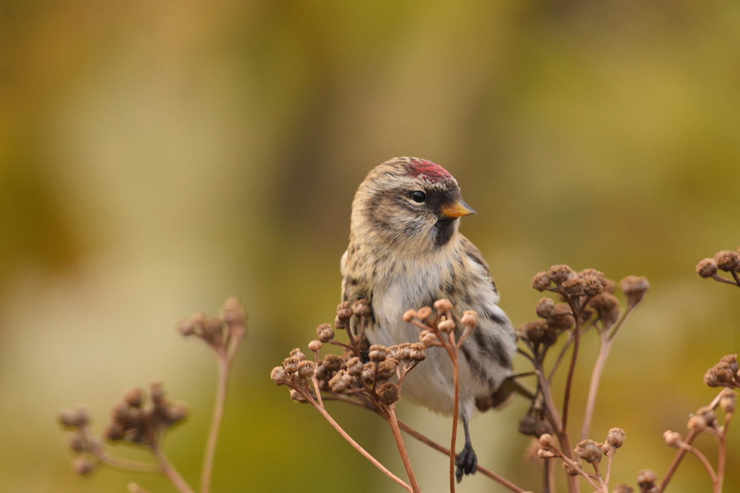 A common redpoll perched among dried flowers