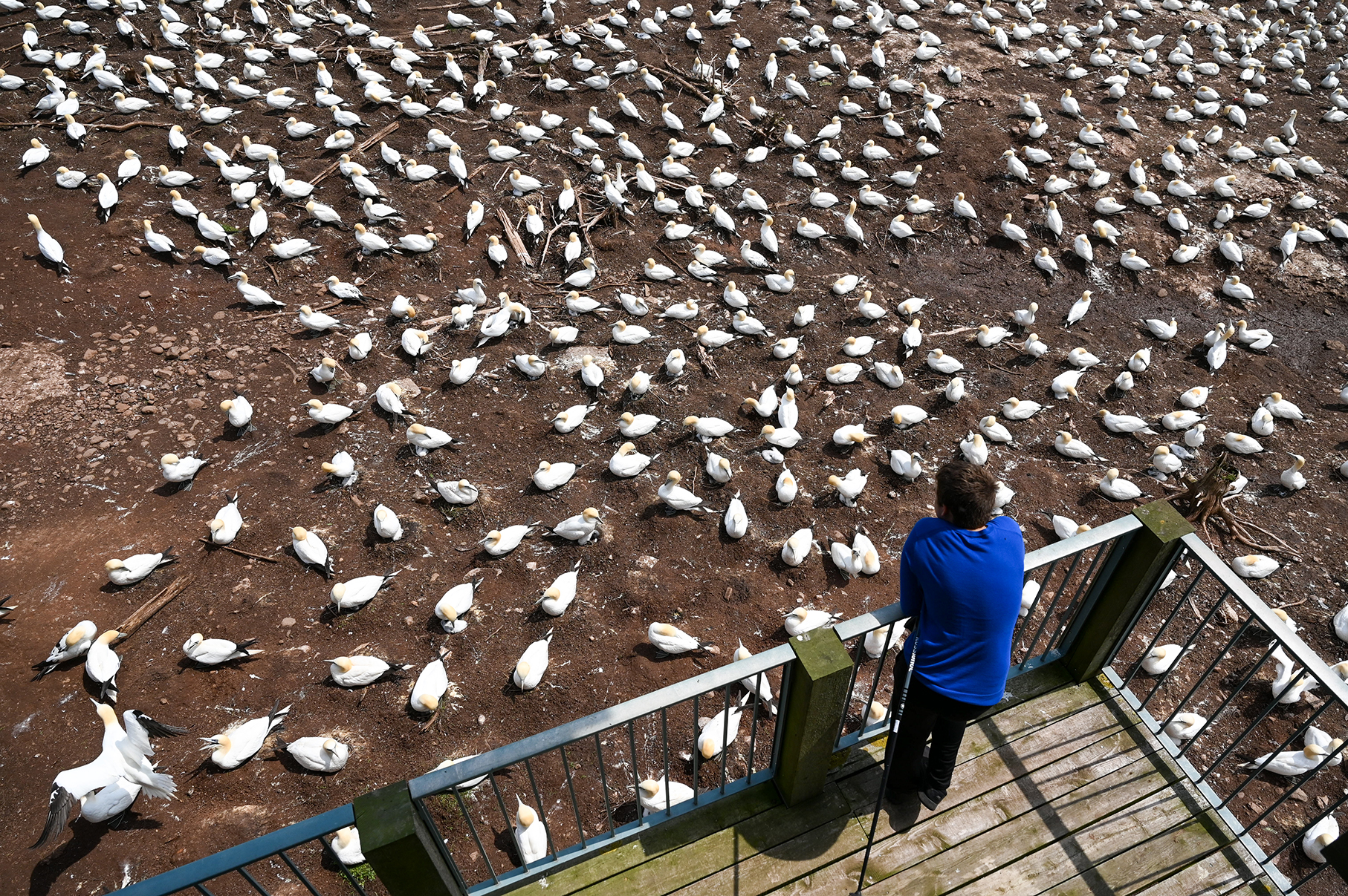 Northern gannets bonaventure island