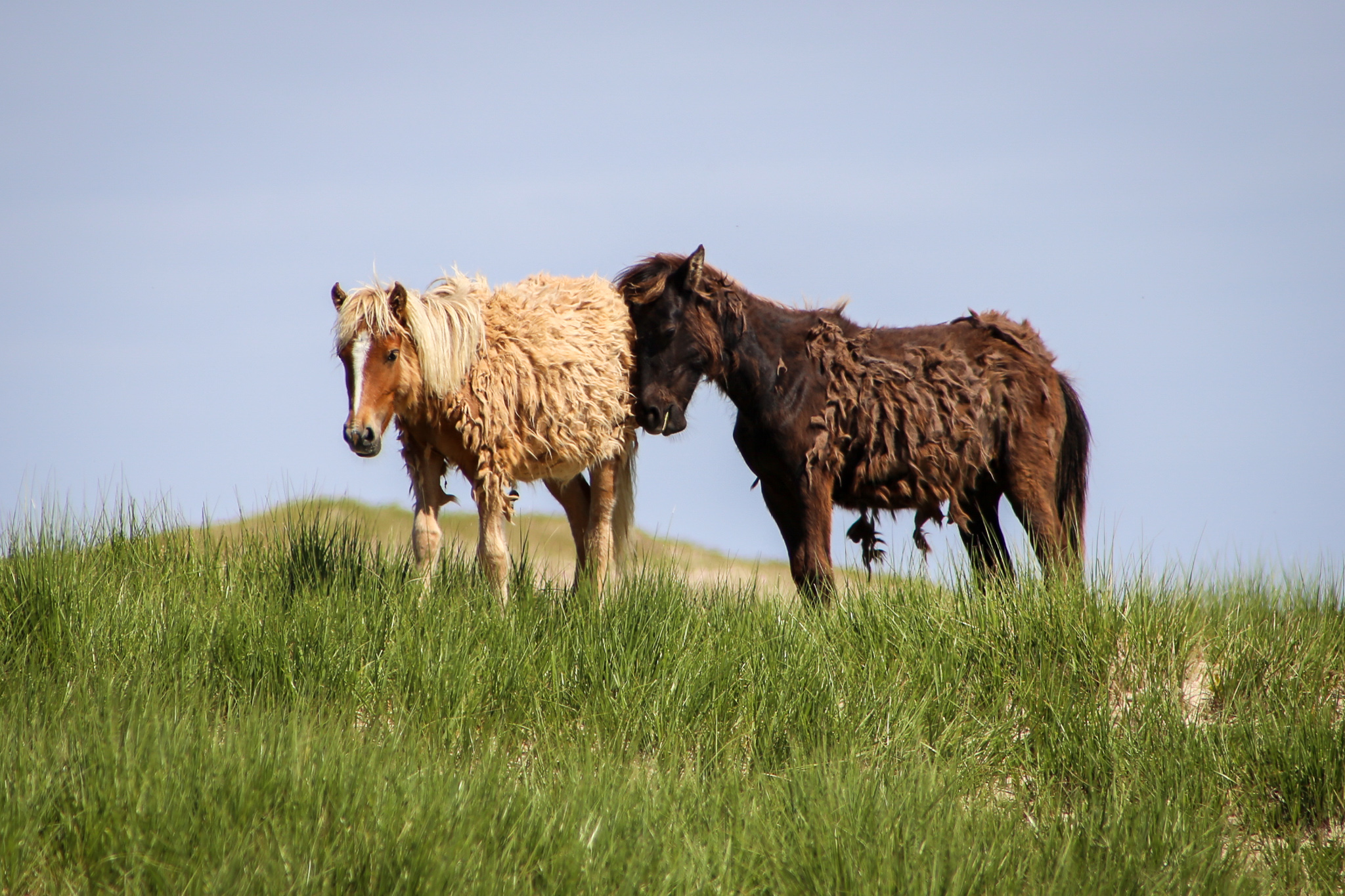 Horses on Sable Island, Nova Scotia