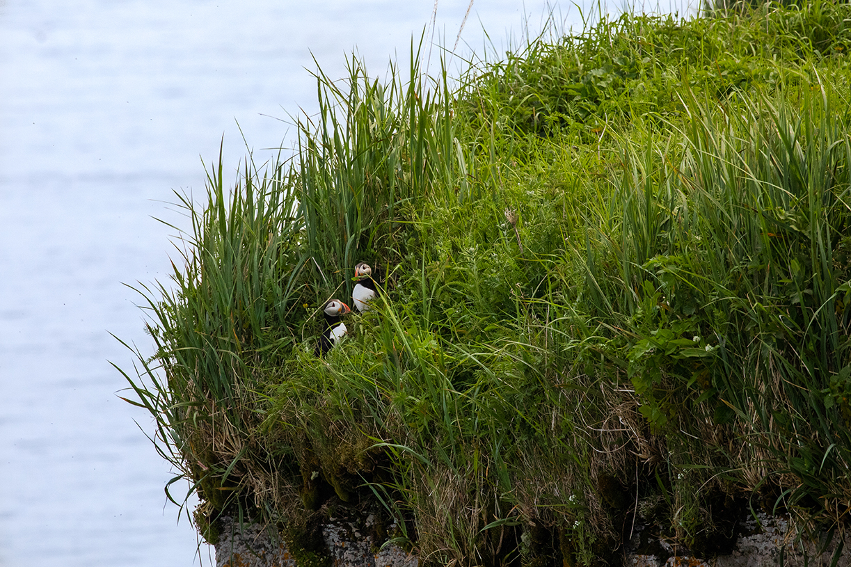 Puffin pair near burrow