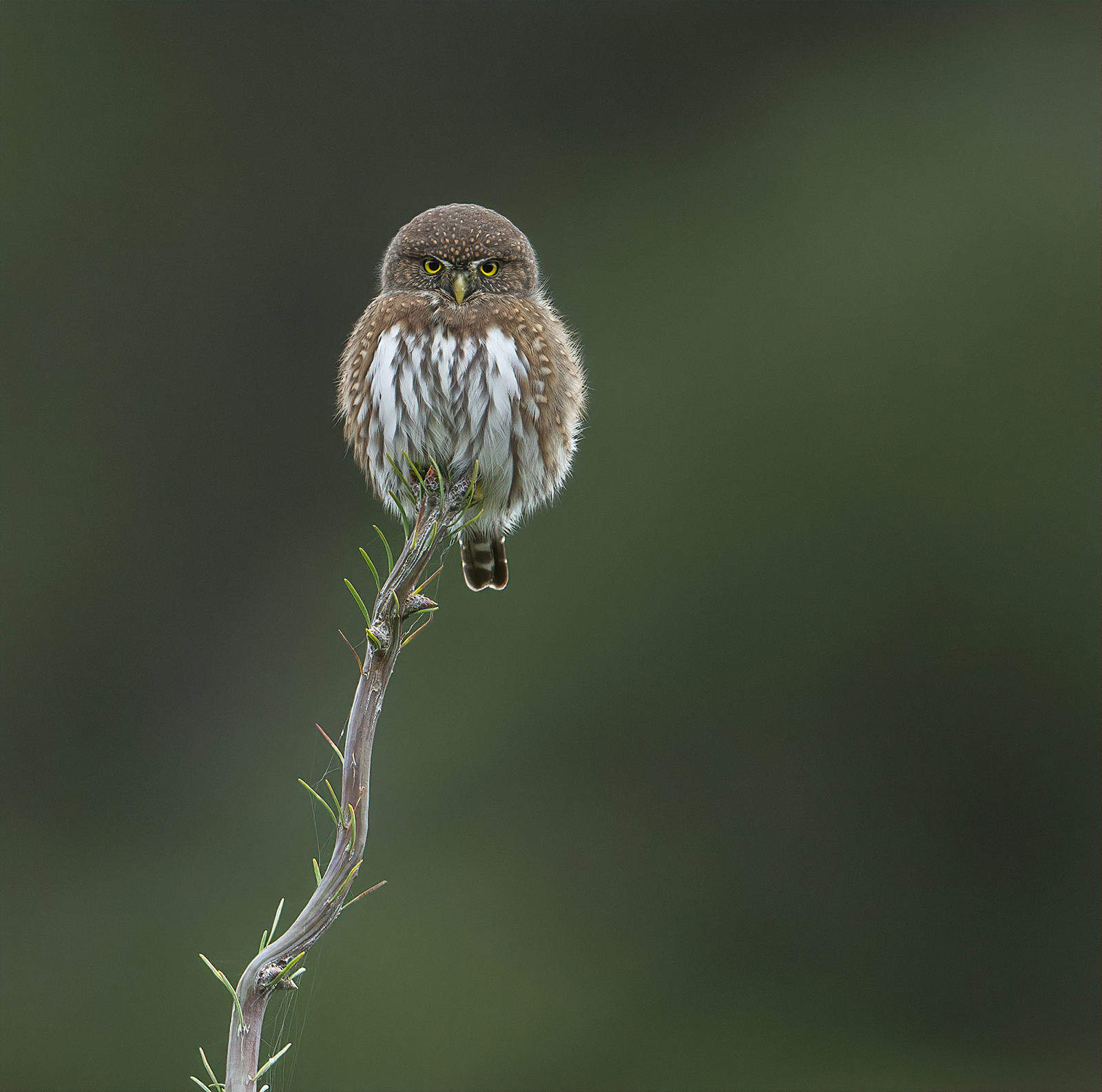 Northern pygmy-owl glare by Anthony Bucci