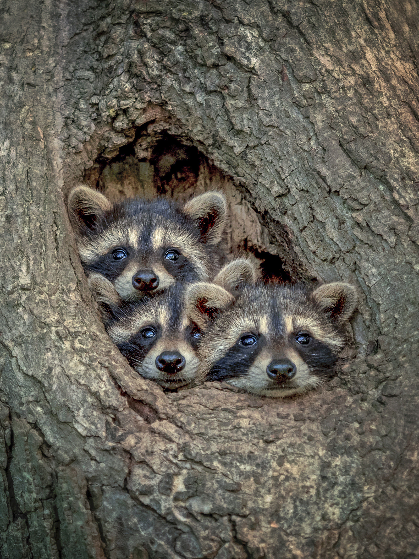When you just can't wait your turn to look raccoons by Kevin Biskaborn