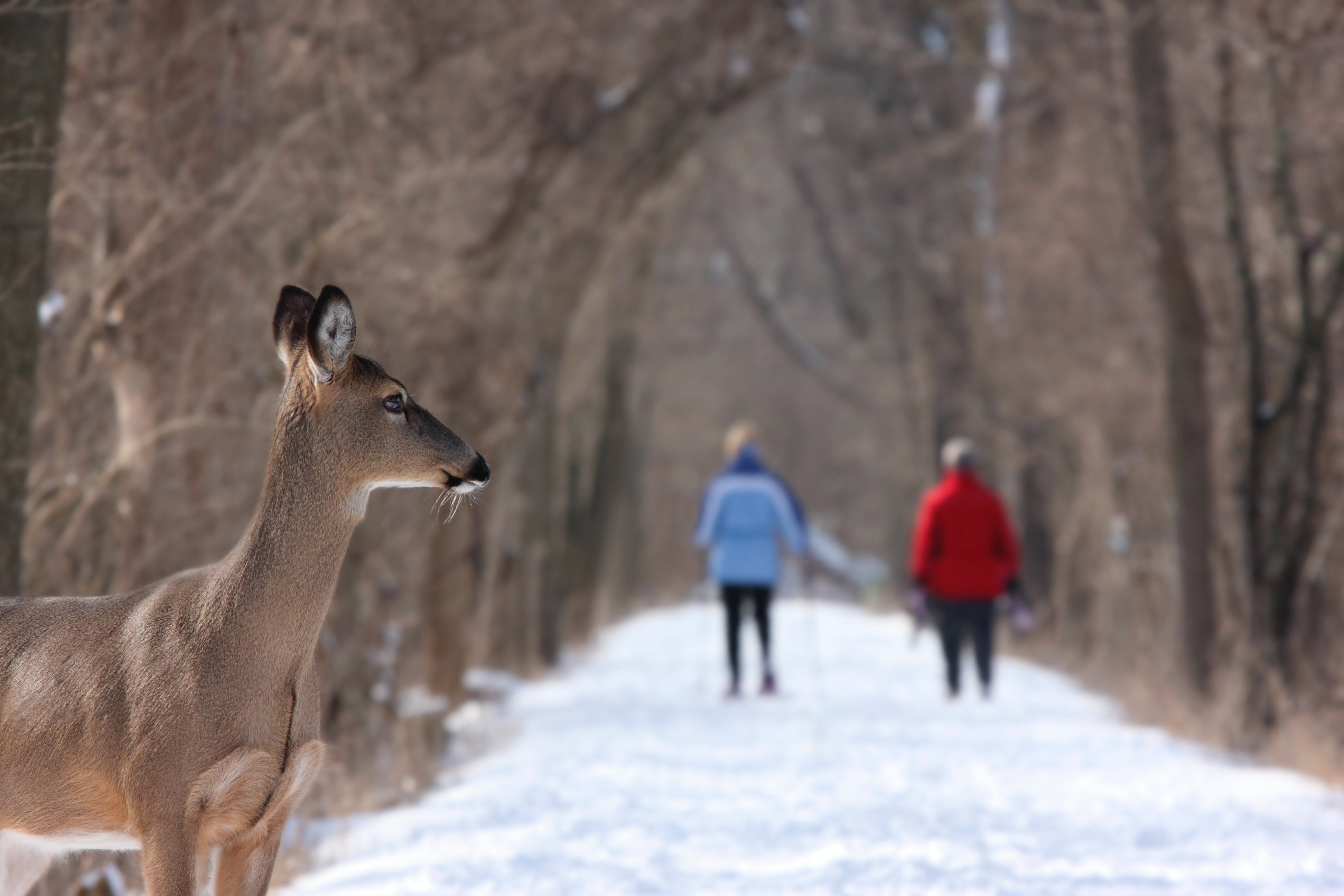 A deer in profile on a snow-covered path