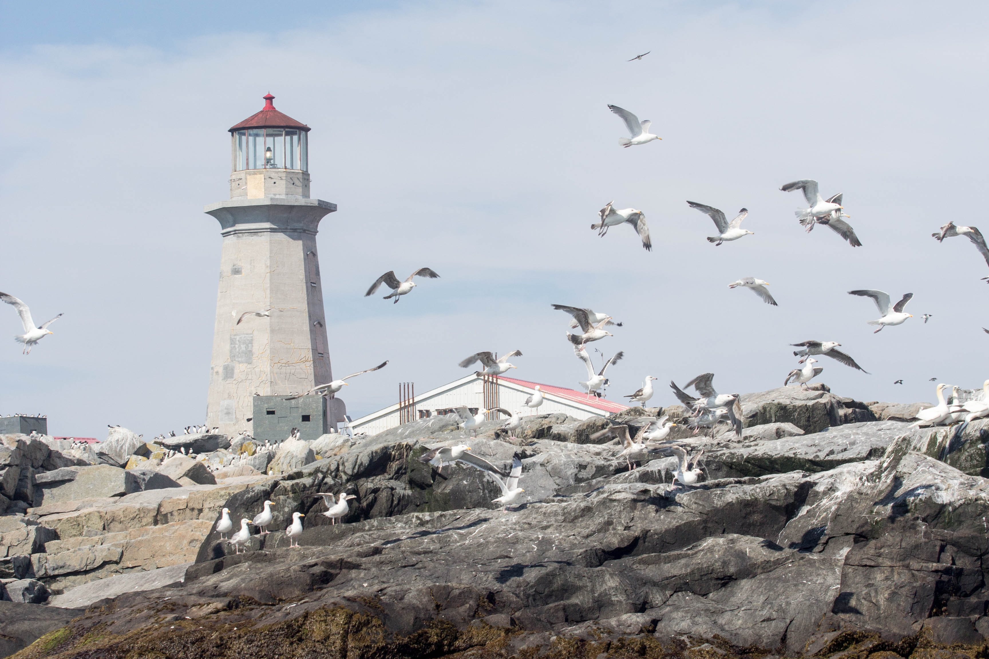 Gulls on Machias Seal Island