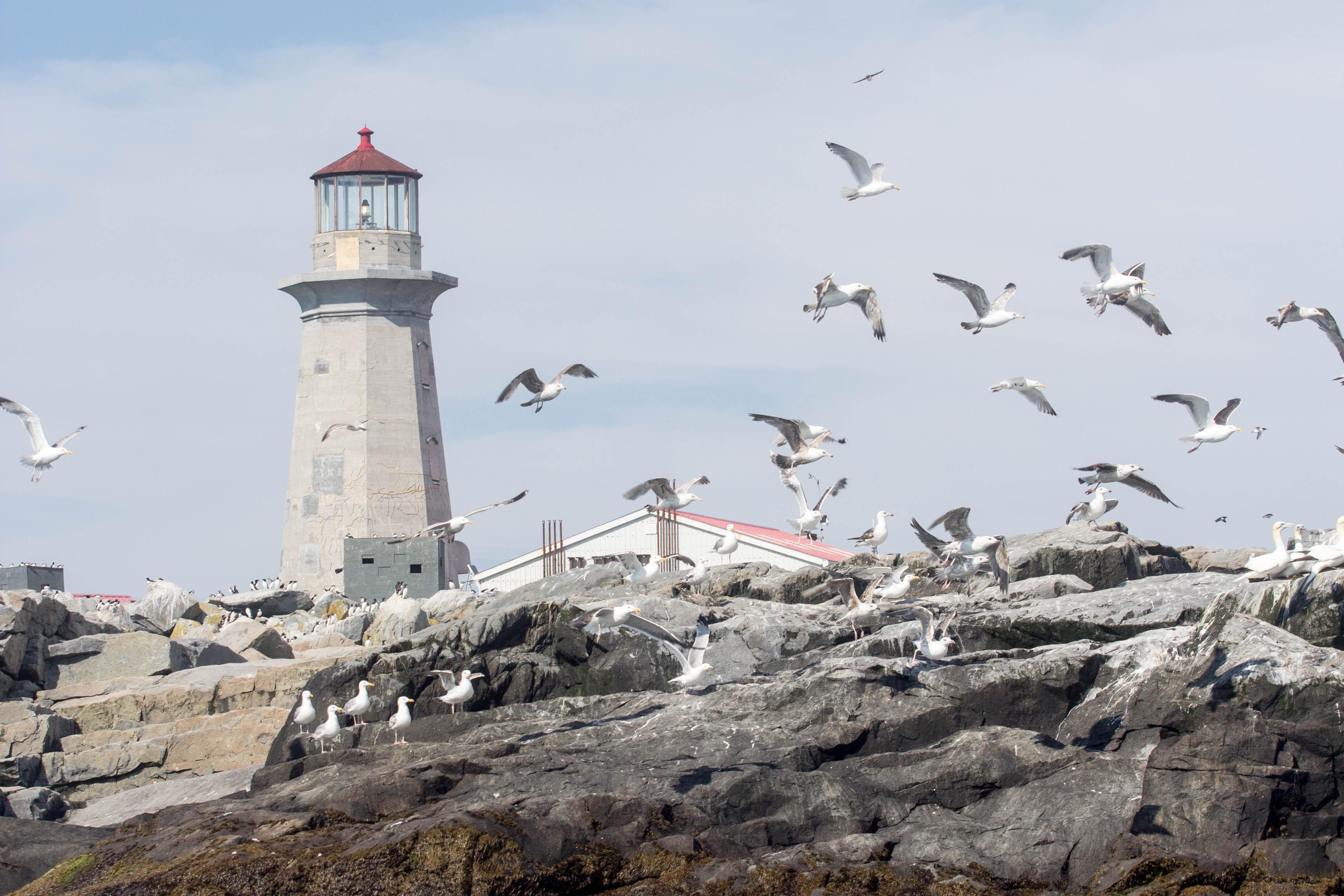 Gulls on Machias Seal Island