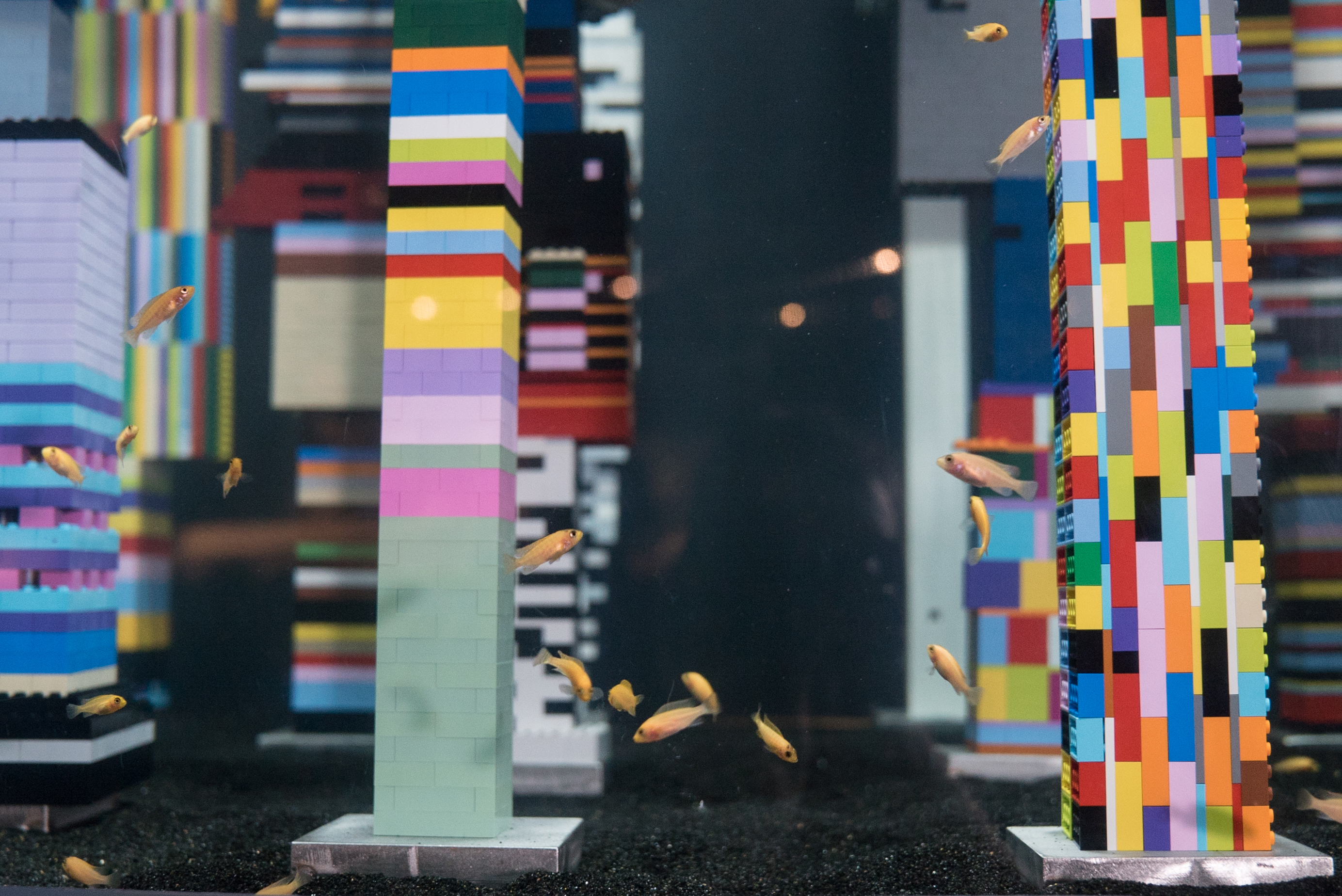 Cichlids swim among towers made of LEGO in Coupland's Vortex exhibit at the Vancouver Aquarium