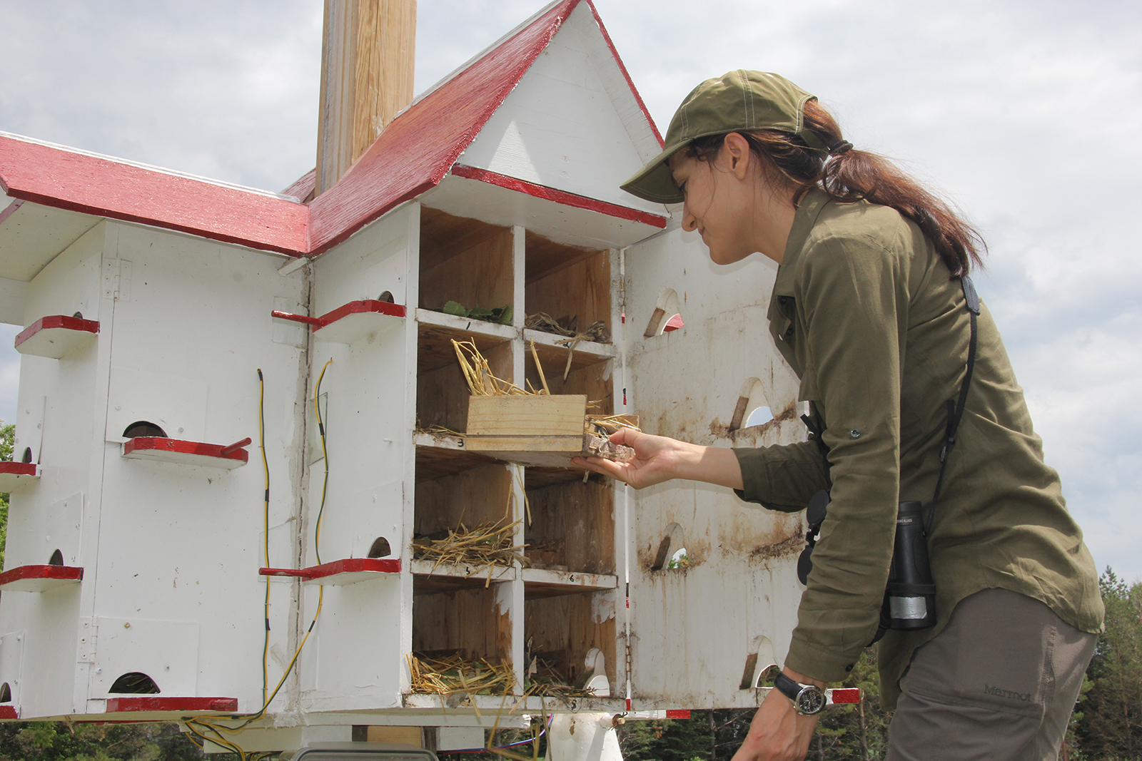 University of Manitoba PhD student Saeedeh Bani Assadi examining the contents of a purple martin nest
