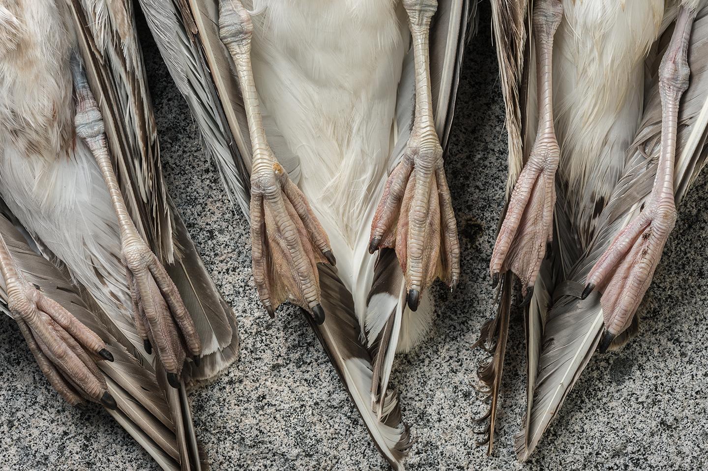 Dead gulls on Machias Seal Island