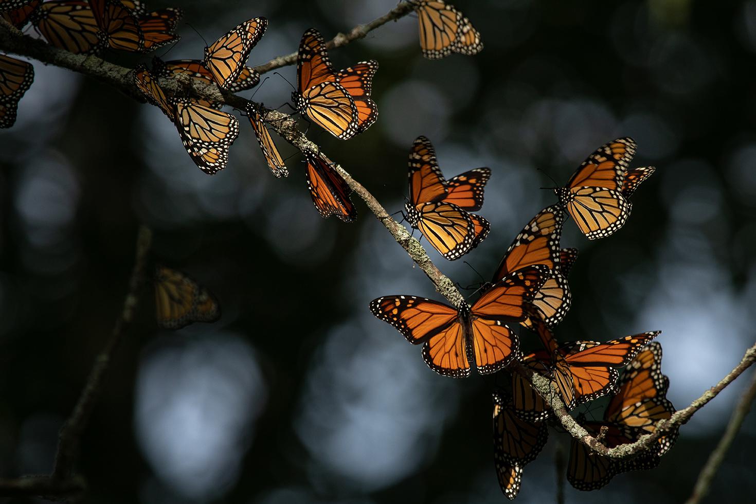 Monarch butterflies roost in Presqu'ile Provincial Park