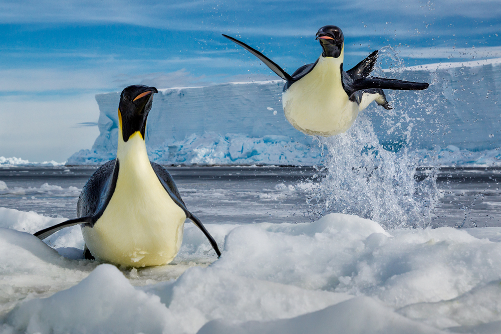 An emperor penguin is caught mid-leap in the Ross Sea, Antarctica.
