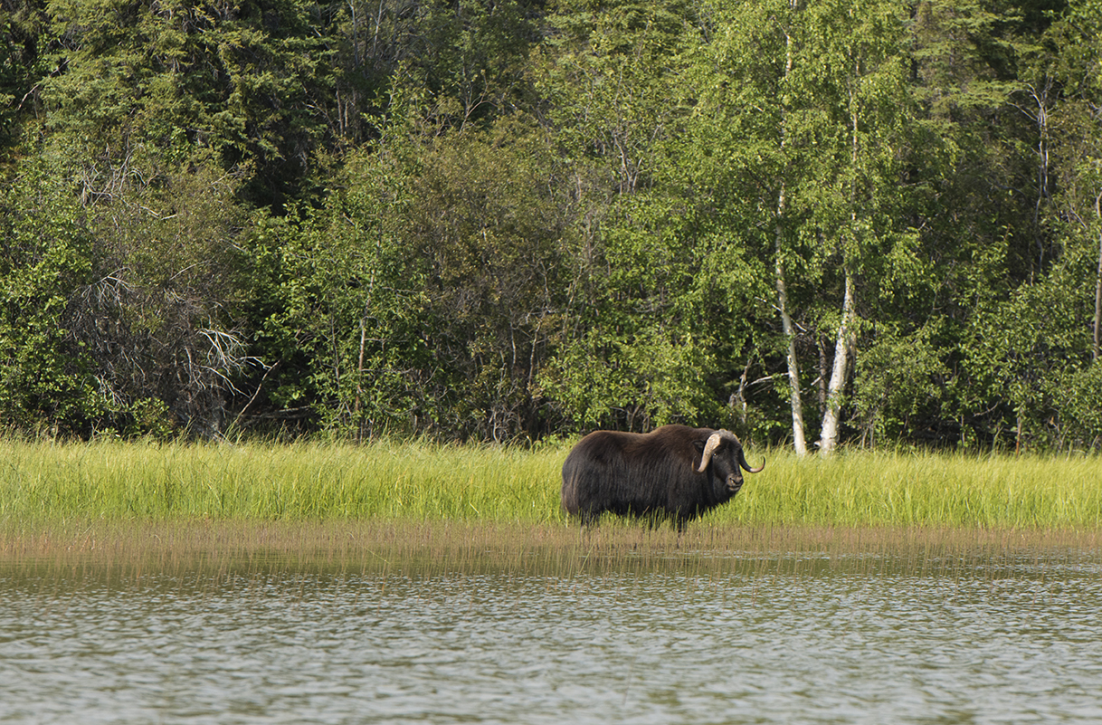 A muskox in Thaidene Nêné National Park Reserve