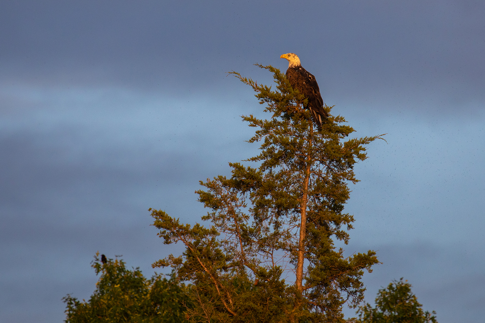 A bald eagle perched on top of a pine tree is tinted orange by the setting sun