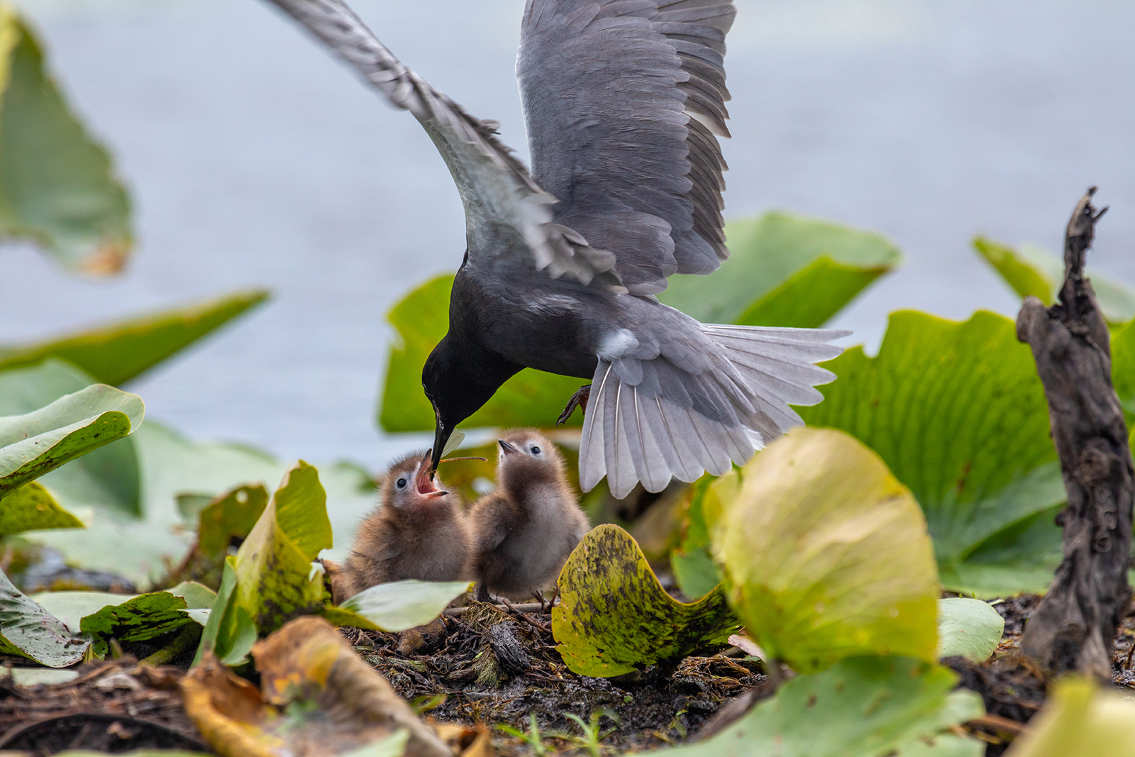 A female black tern feeds two chicks in a nest