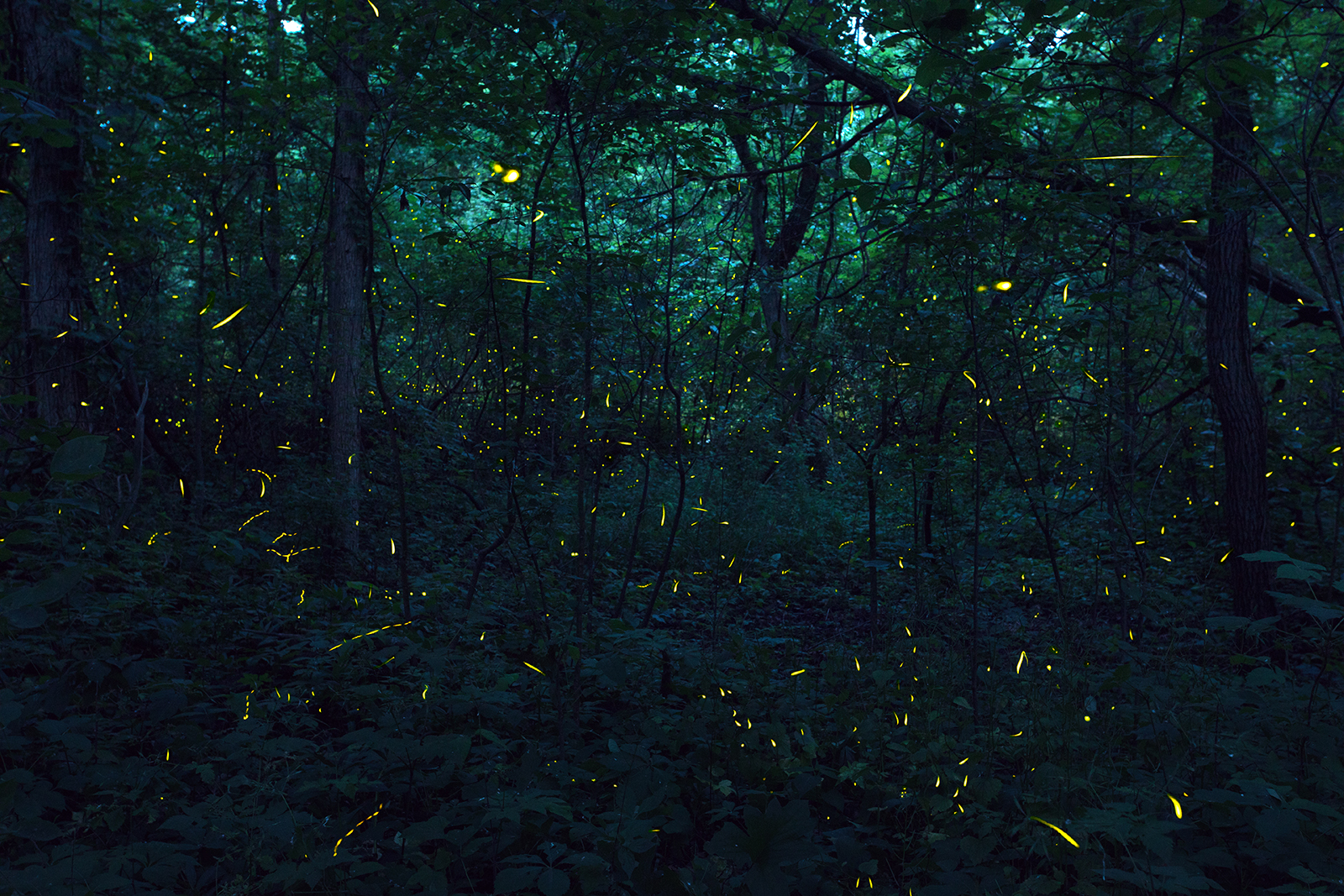 Fireflies in a wood