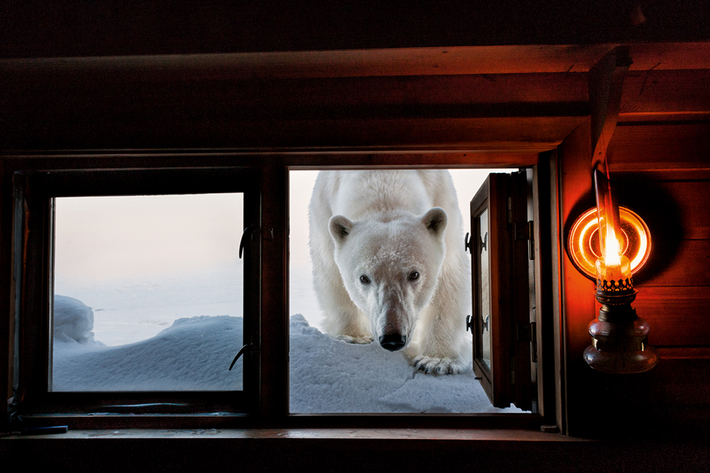 A polar bear looks through window of Paul Nicklen's cabin in Svalbard (between mainland Norway and the North Pole)