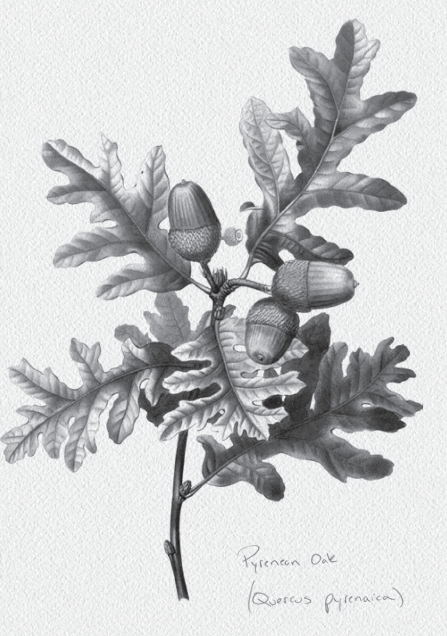Black and white drawing of a Pyrenean oak leaf